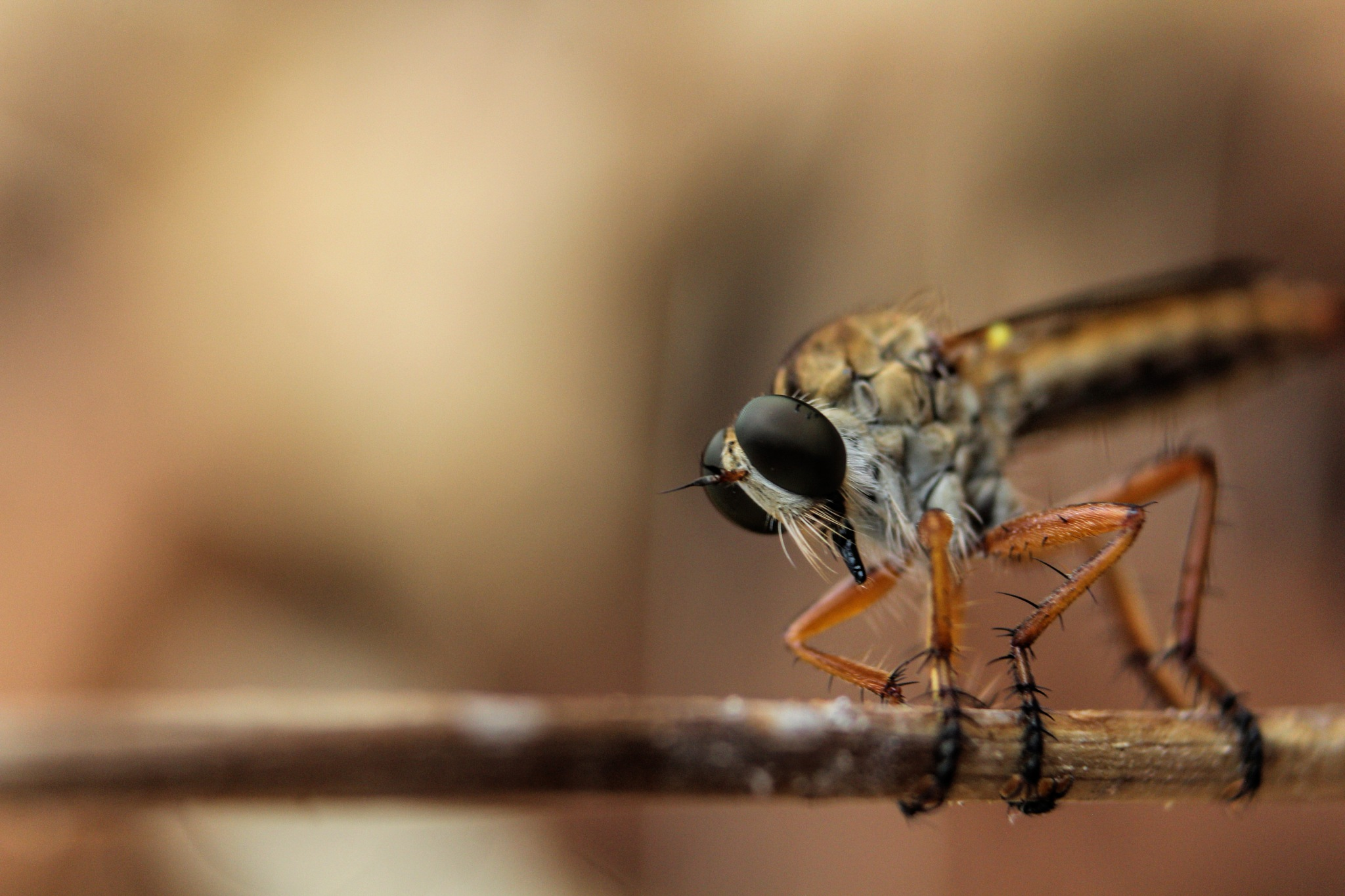 Robber fly by iehabladadwh