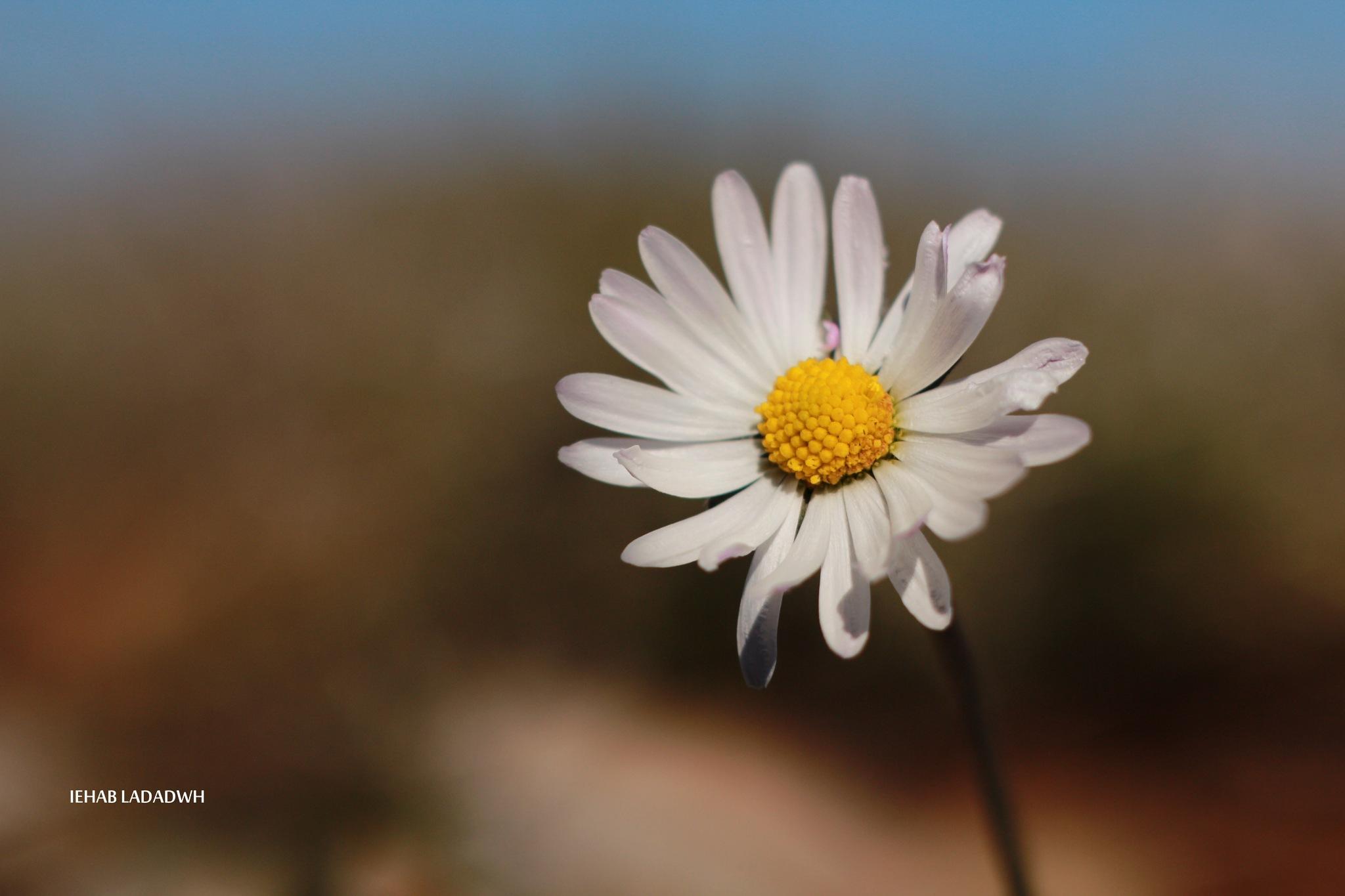 Daisy  by iehabladadwh