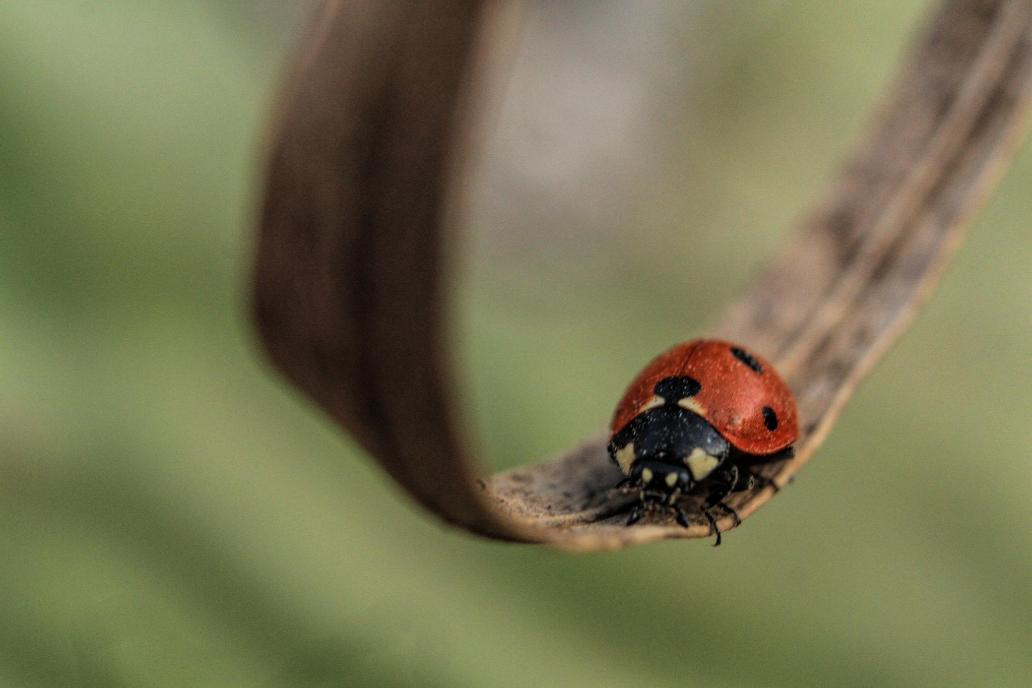 Red beetle by iehabladadwh