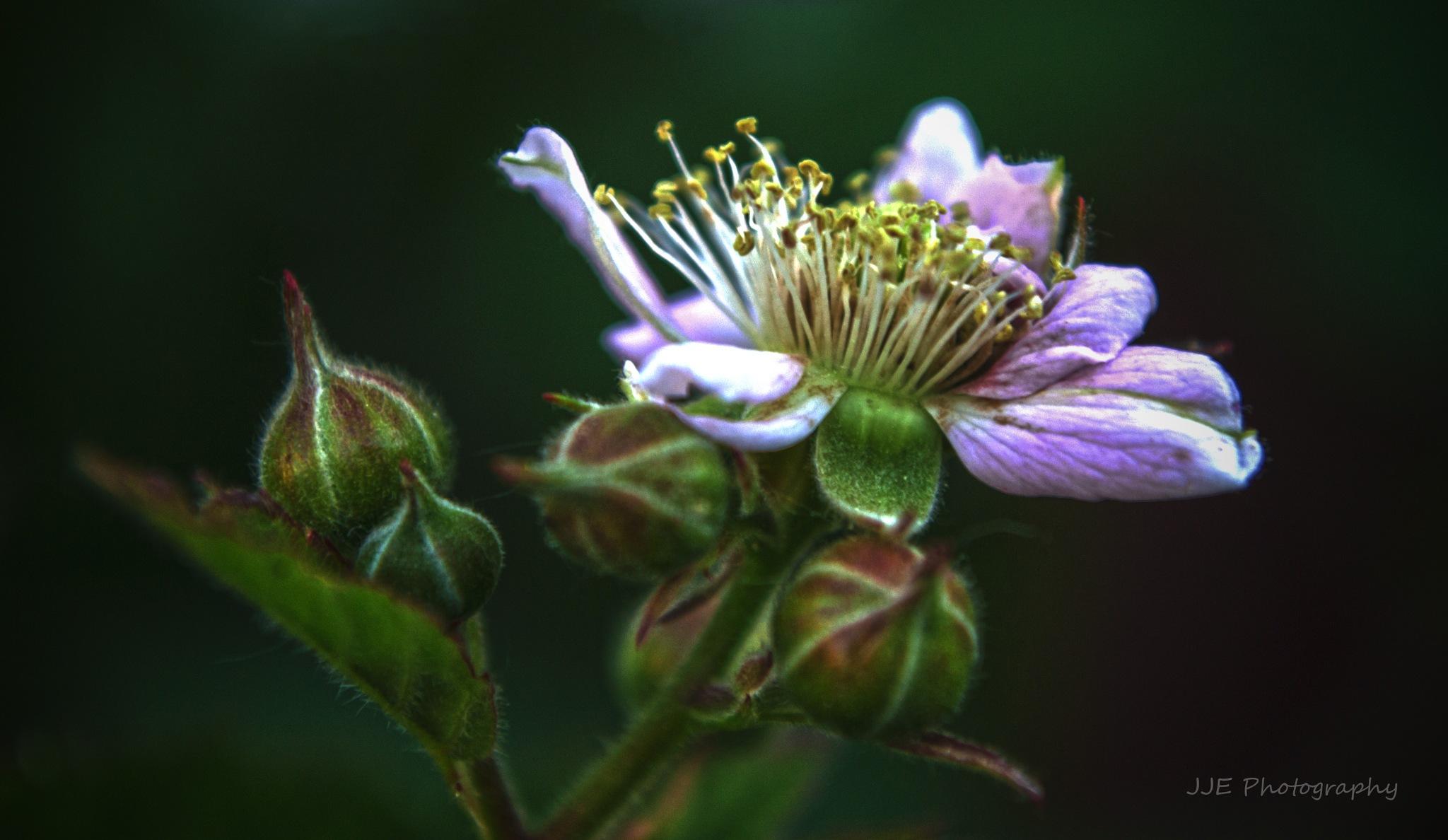 Blossom by jassaj