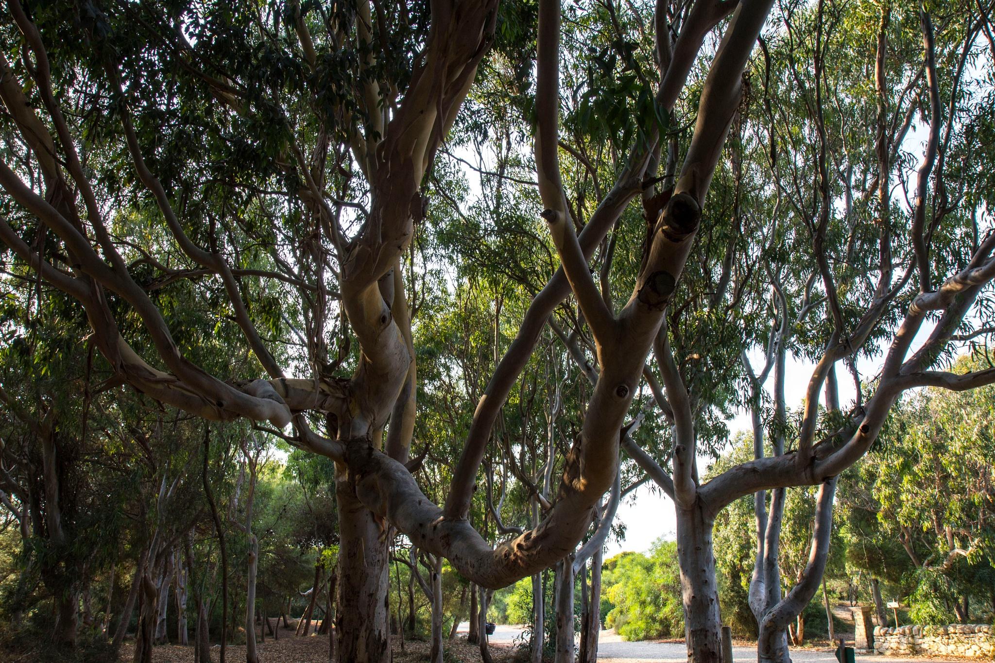 eucalyptus in sicily by alextrusty