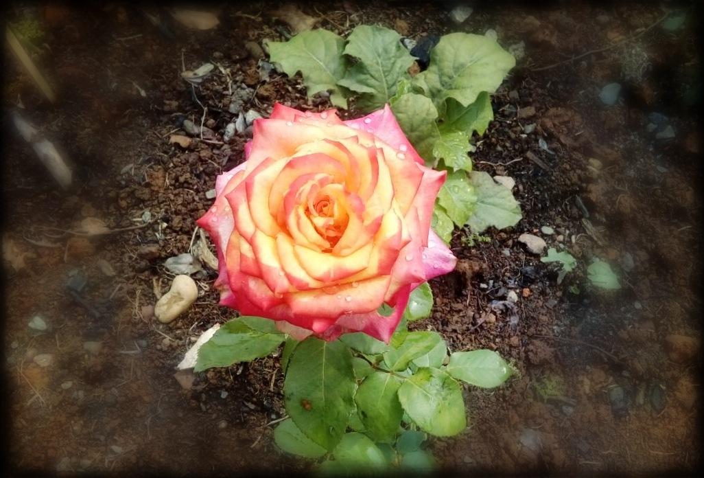 from mother's garden by Douglas G. Oechsler