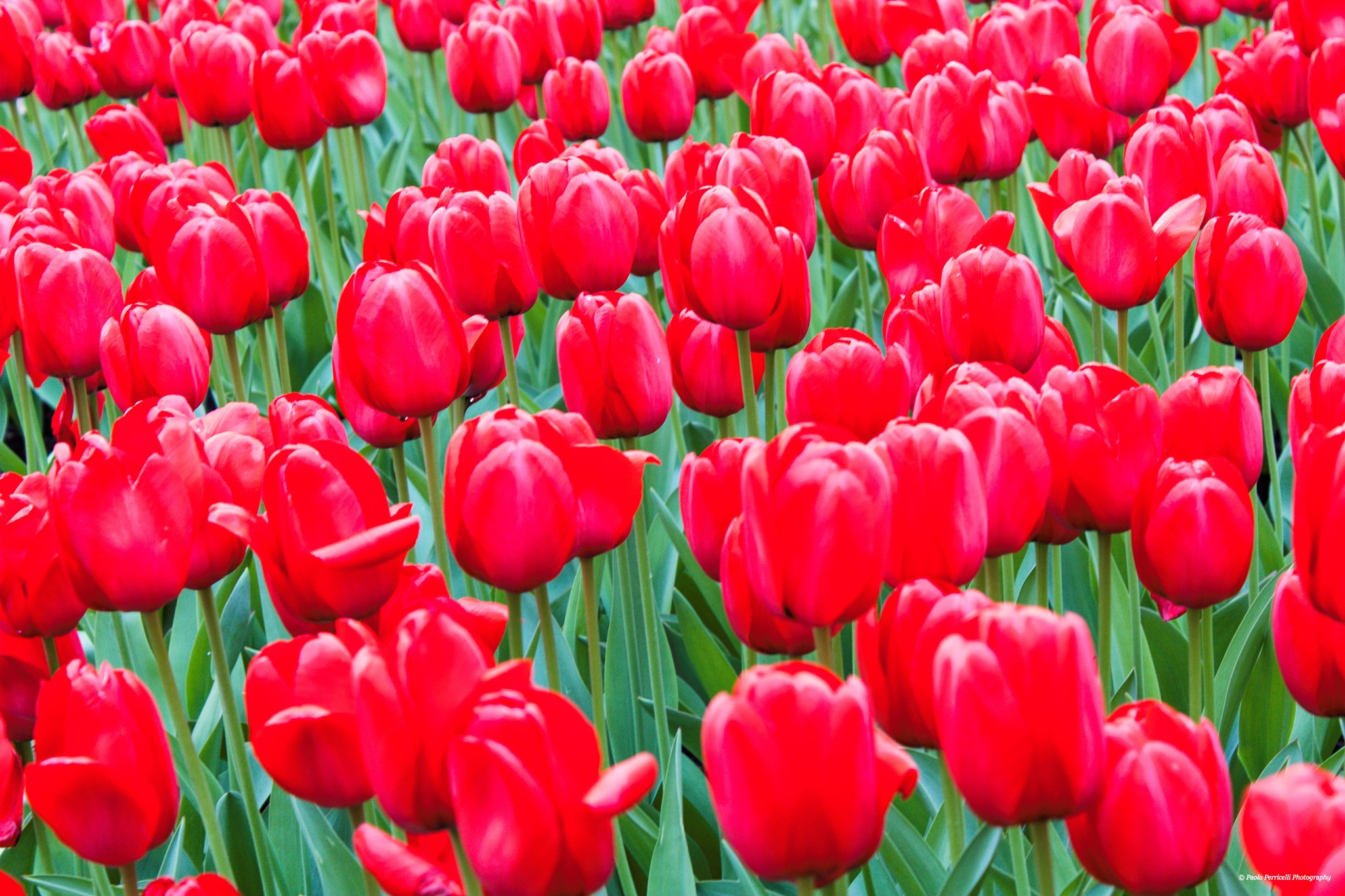Tulips by Paolo Perricelli