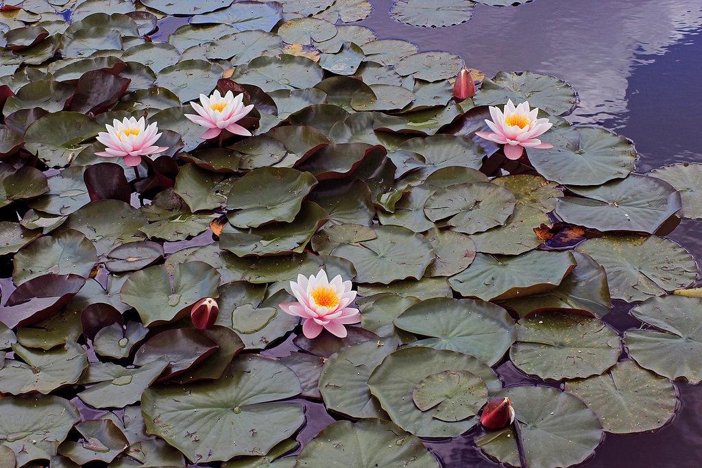 Nymph Pond by dirtyharriet