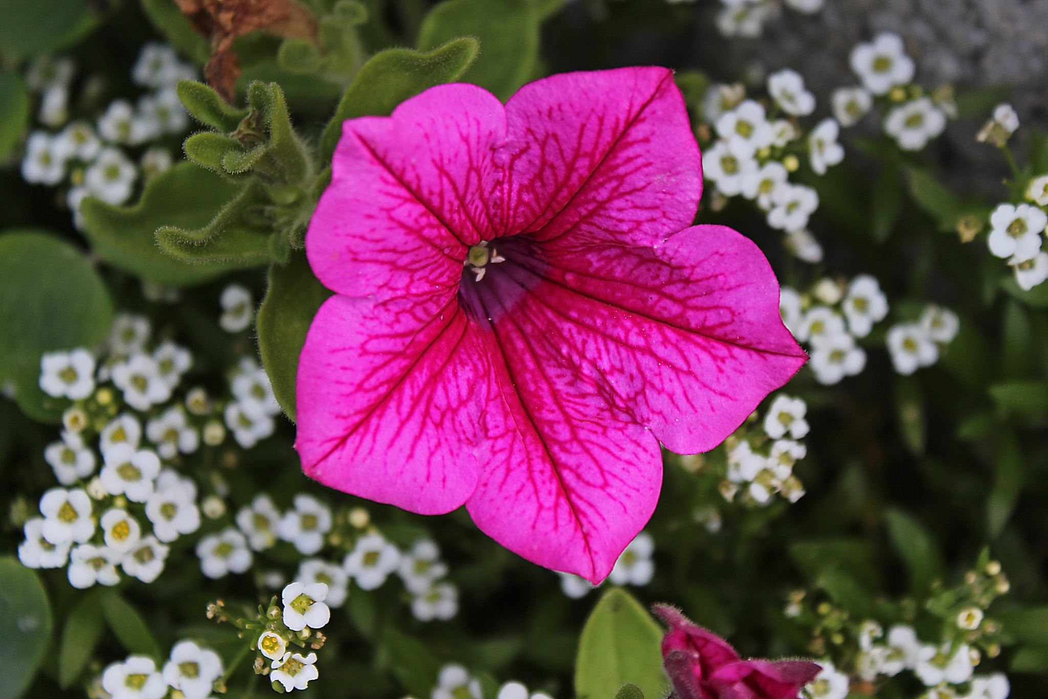 Petunia by dirtyharriet