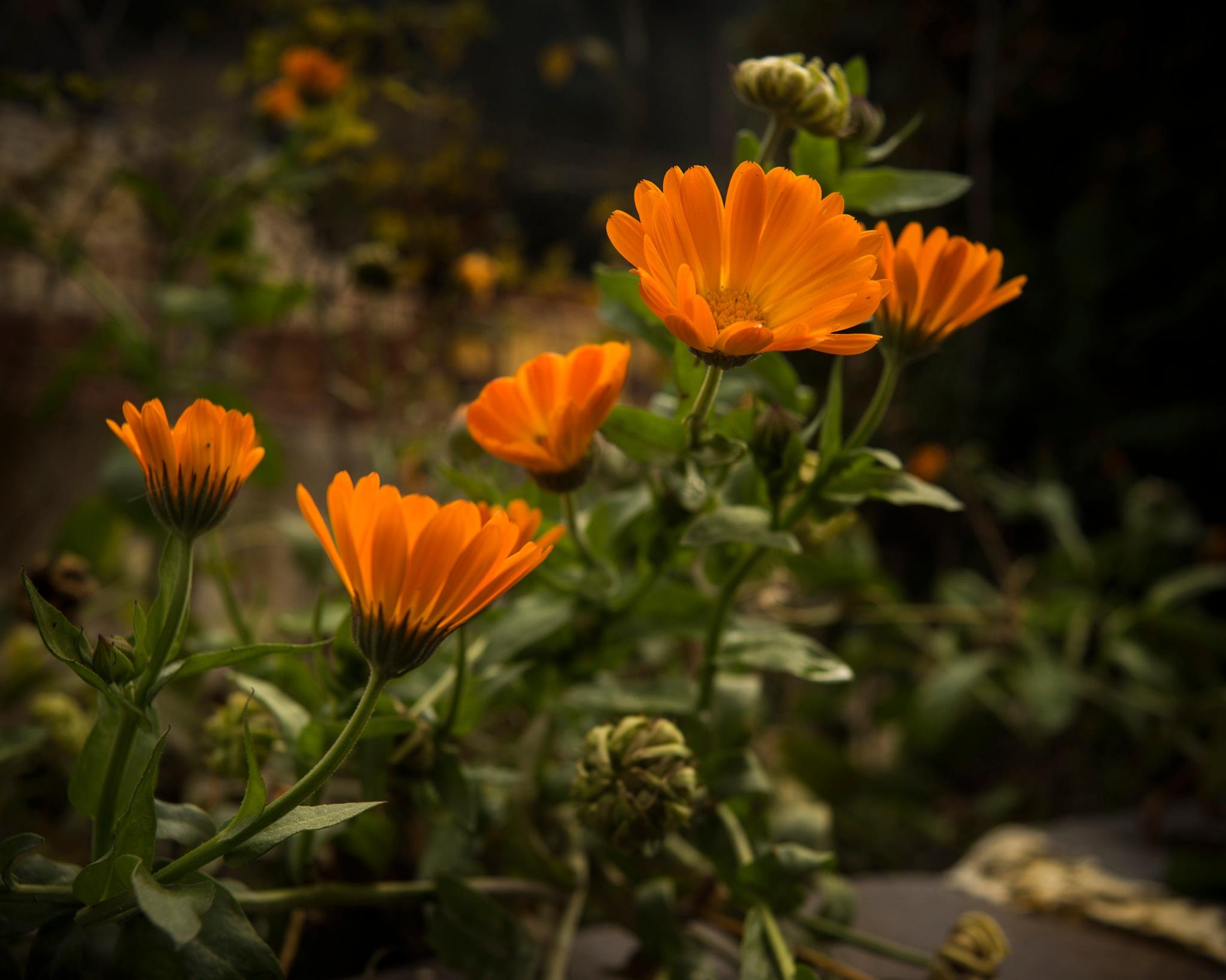 Orange flowers of the autumn by Bogdan Udrescu