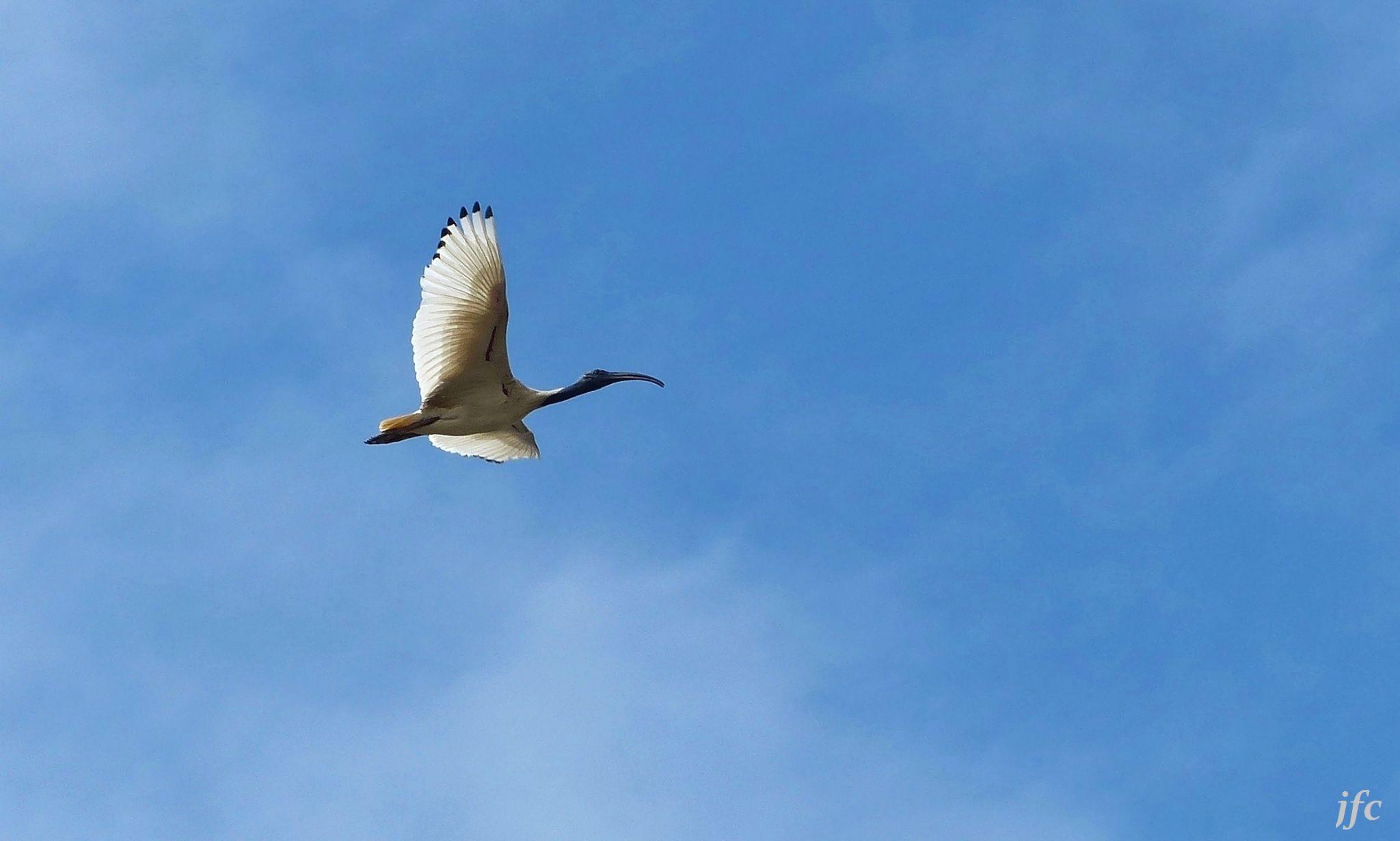 ibis by johnfalconcostanzo