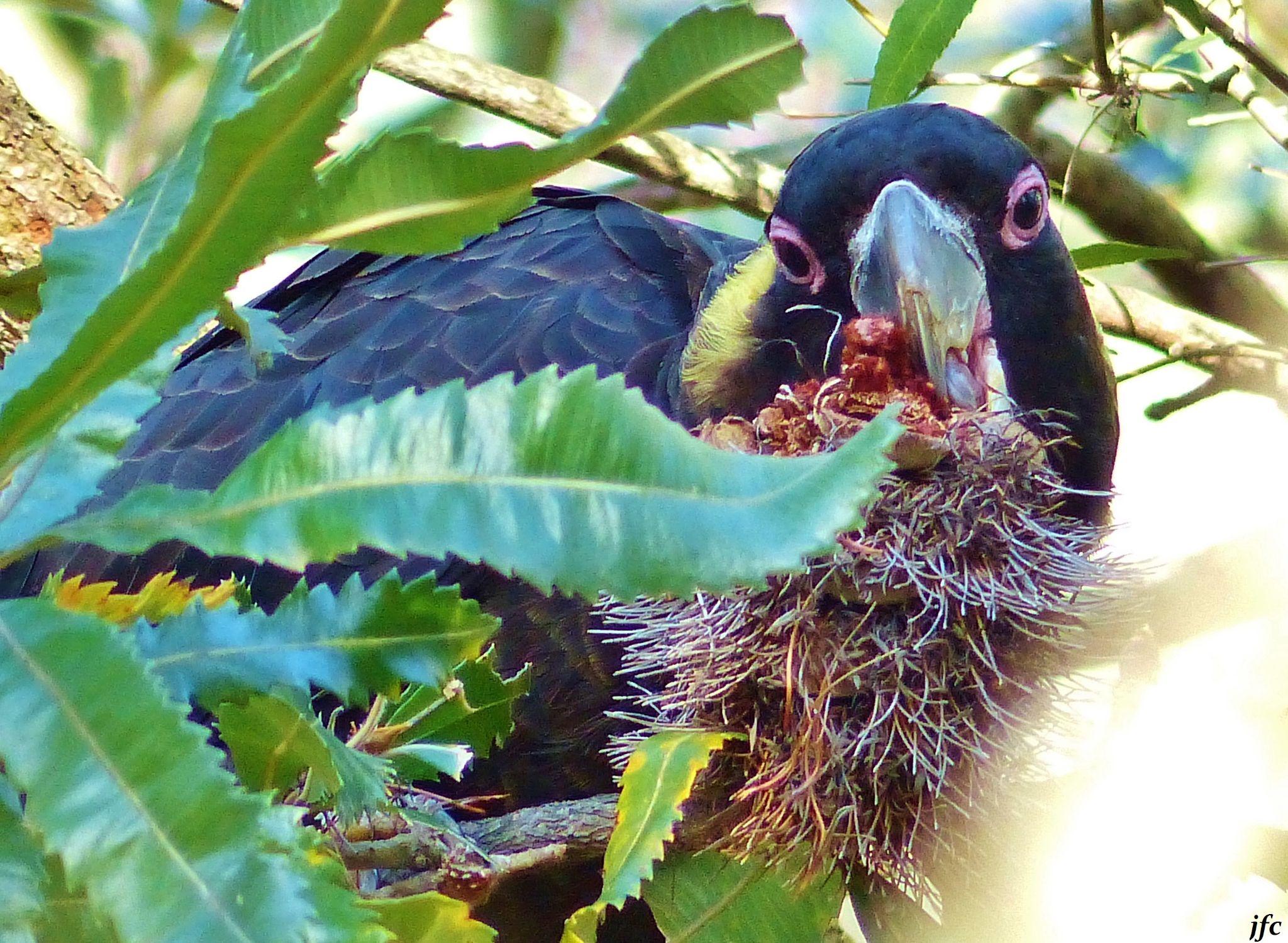 Black cokatoo by johnfalconcostanzo