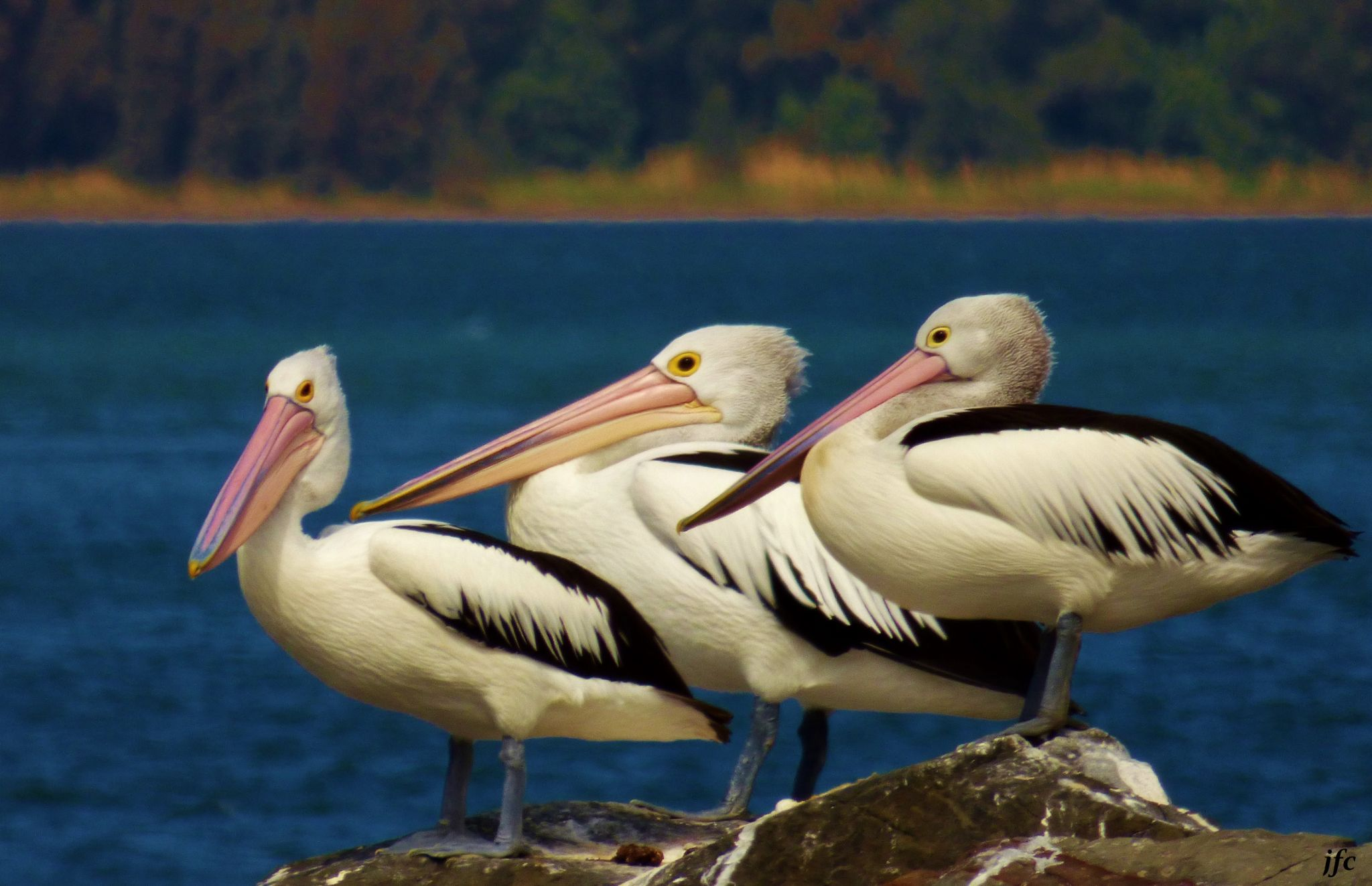 pelicans by johnfalconcostanzo