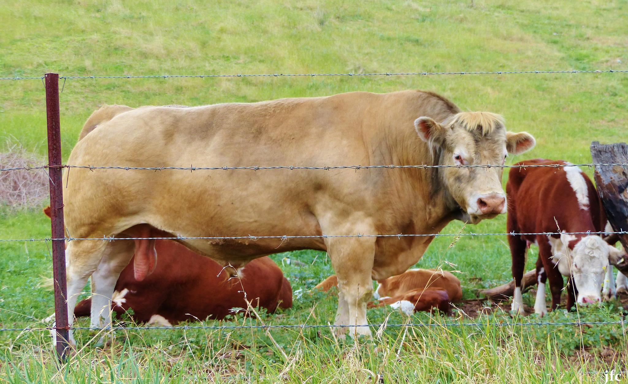 Photo in Animal #bull calfs animals farm