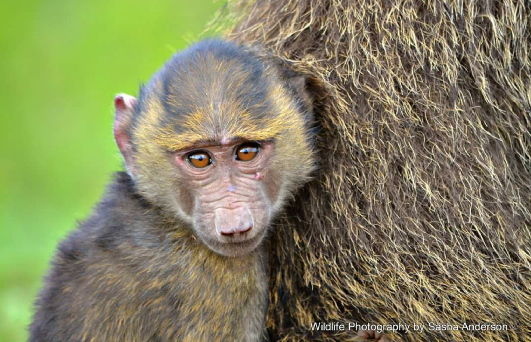 Photogenic baby baboon! by Sasha Anderson
