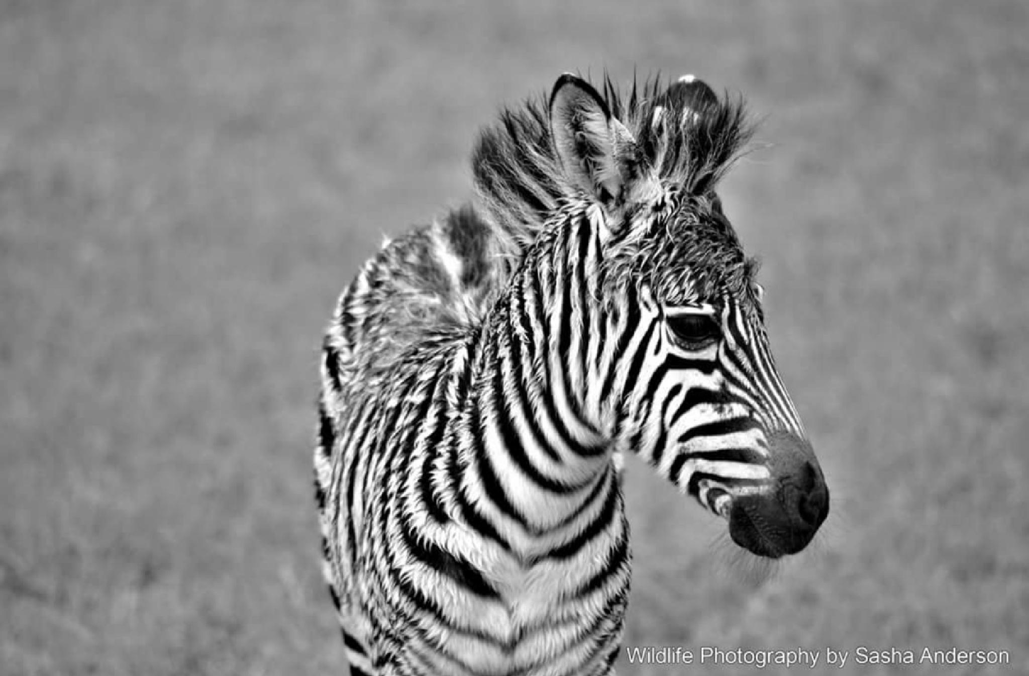 Zebra Foal by Sasha Anderson