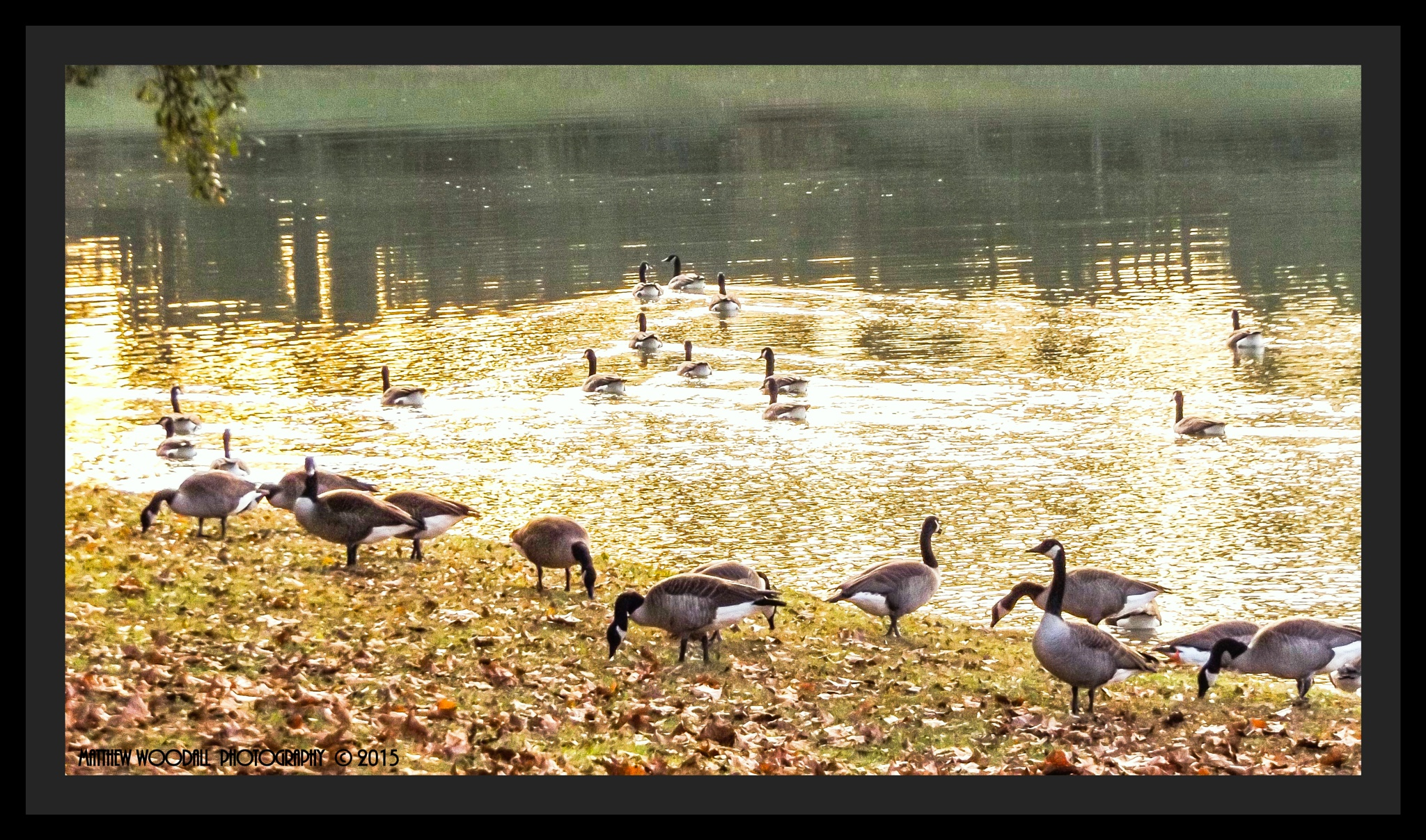 Canadian Geese enjoying the southern warmth  by Matthew Woodall