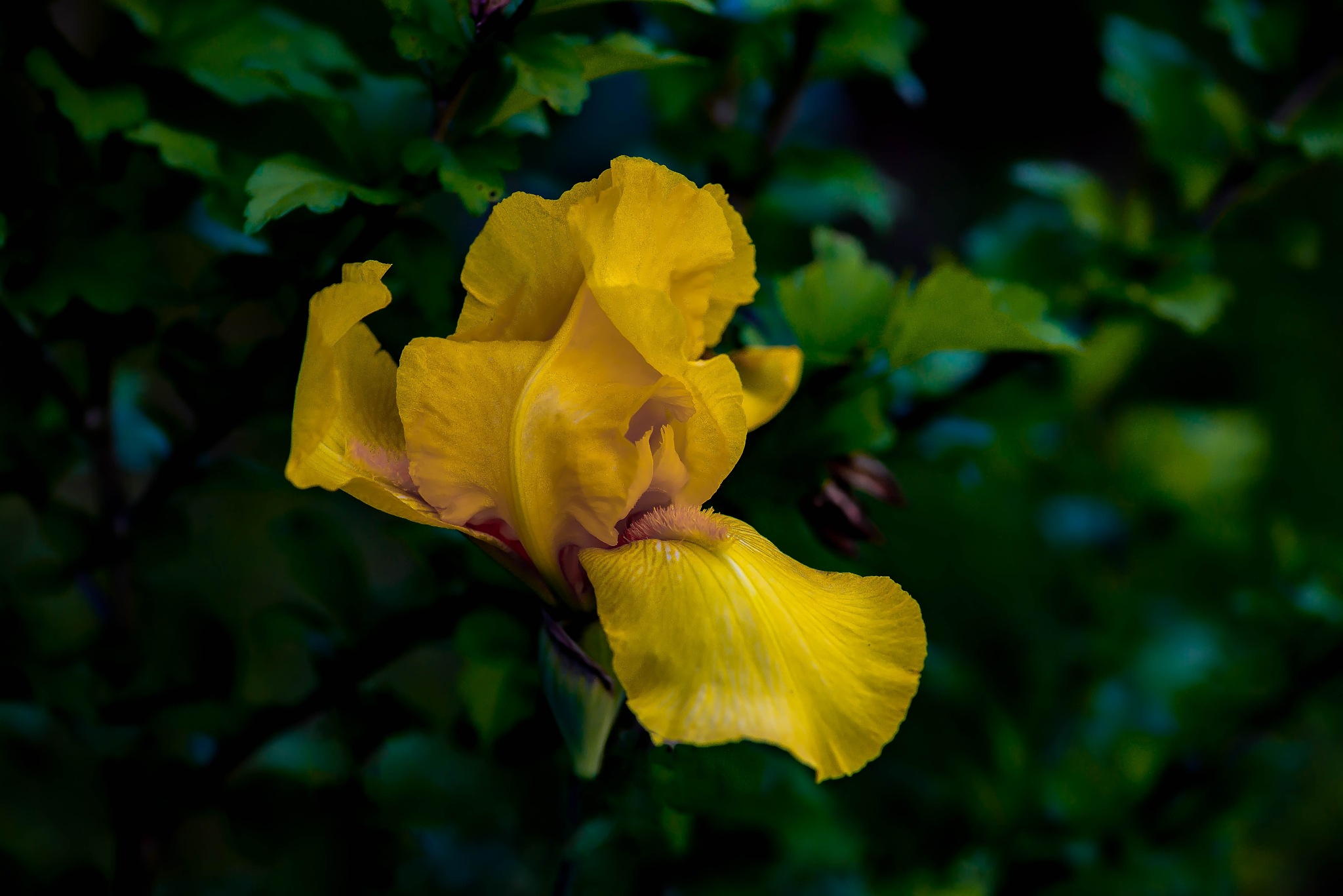 Yellow Bearded Iris by Edward Brown