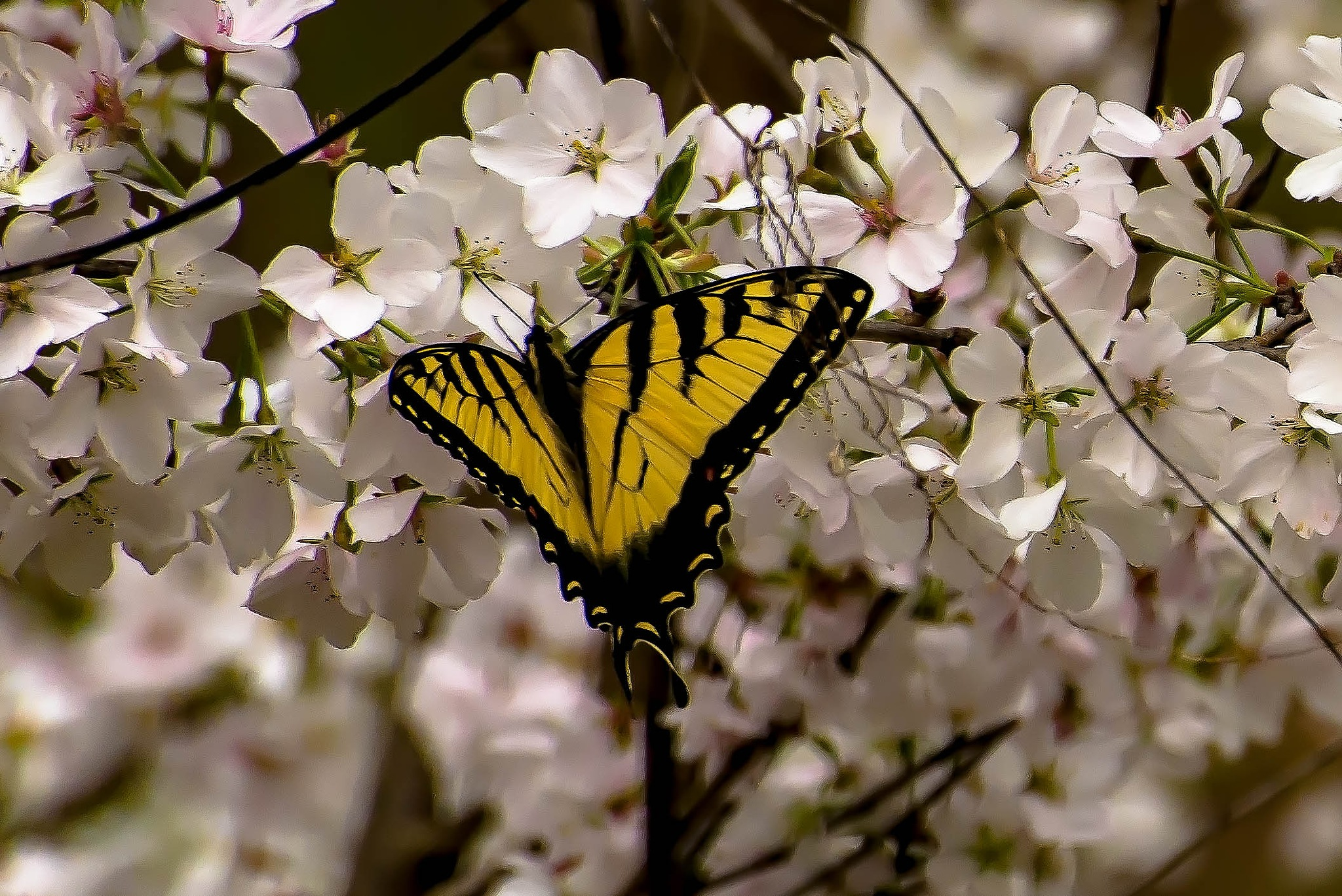 Madam Butterfly by Edward Brown