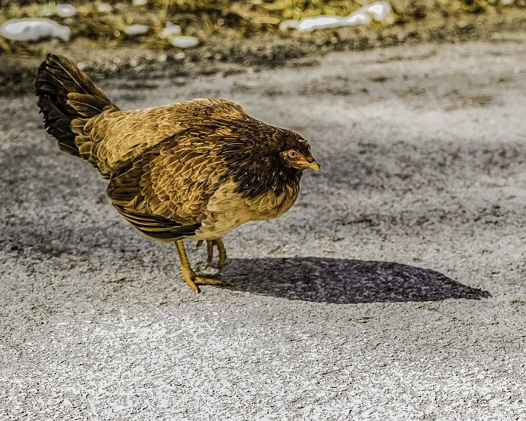Why Did The Chicken Cross The Road by Edward Brown