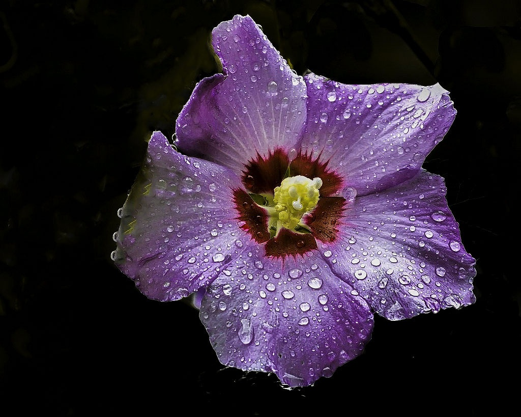 Rainy Day Blossom Deep Violet by Edward Brown