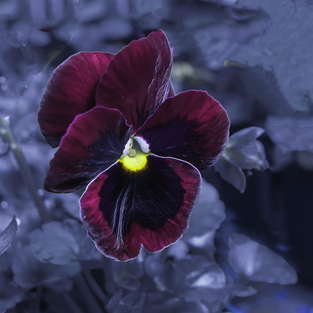 Pansy In The Blue Hour by Edward Brown