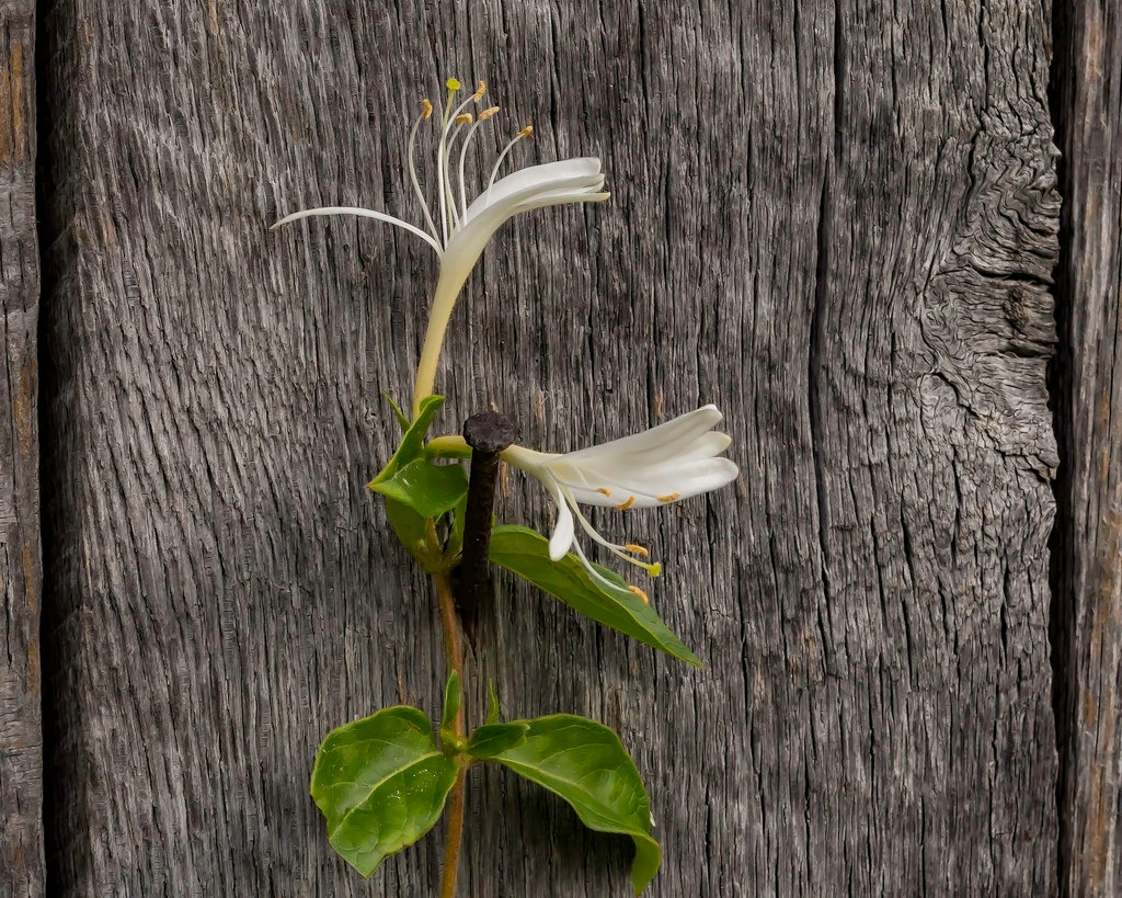 Wild Honeysuckle On Barnwood  by Edward Brown