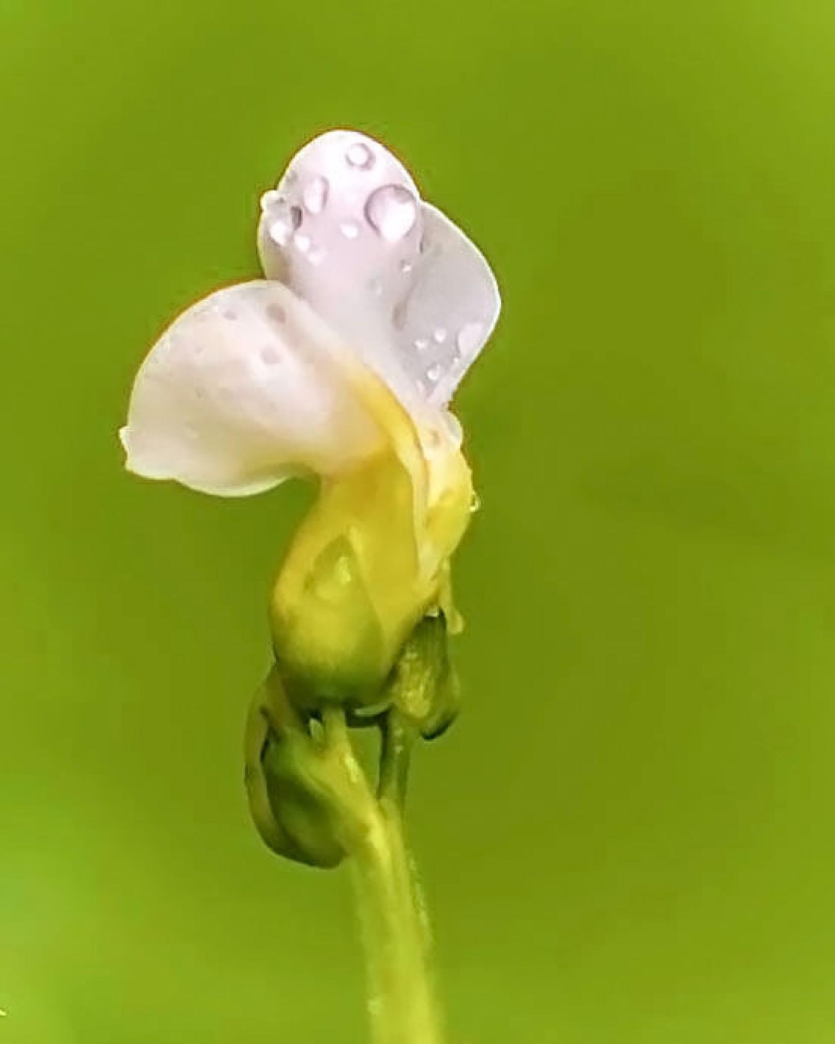Dew Drops by Edward Brown