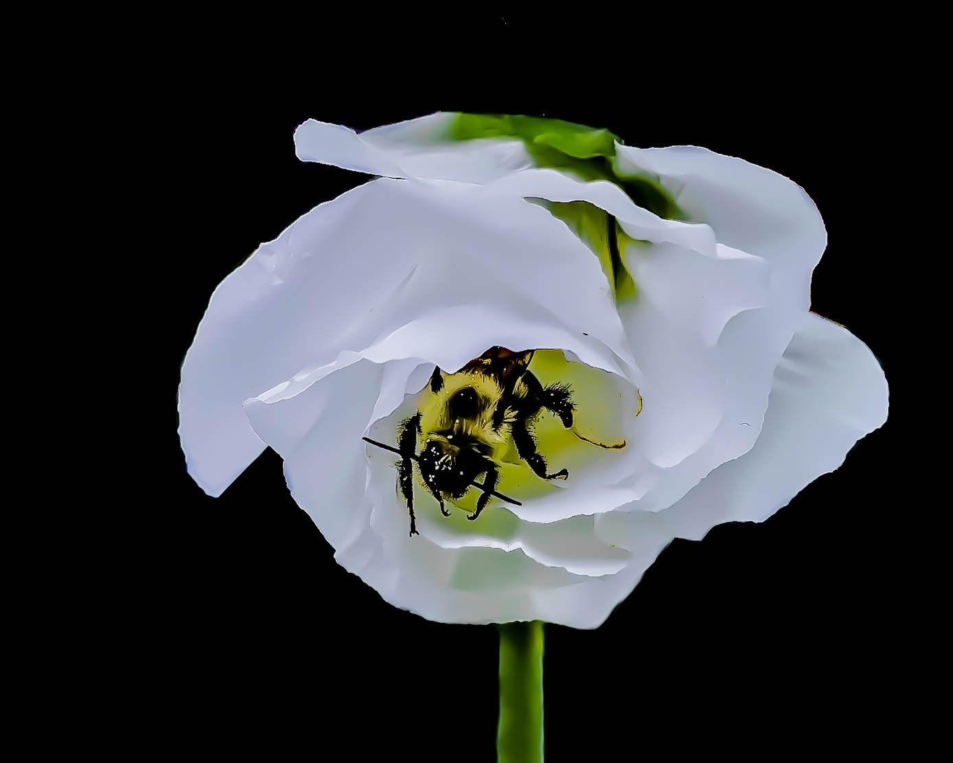 Bee In Translucent Blosson by Edward Brown