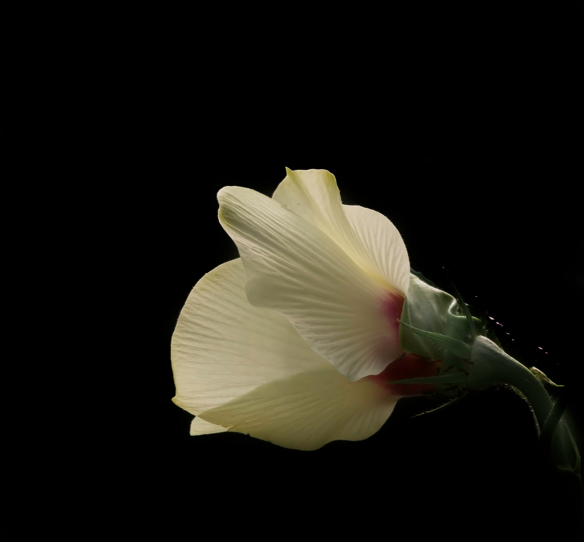 Okra Blossom Opens To The Light by Edward Brown