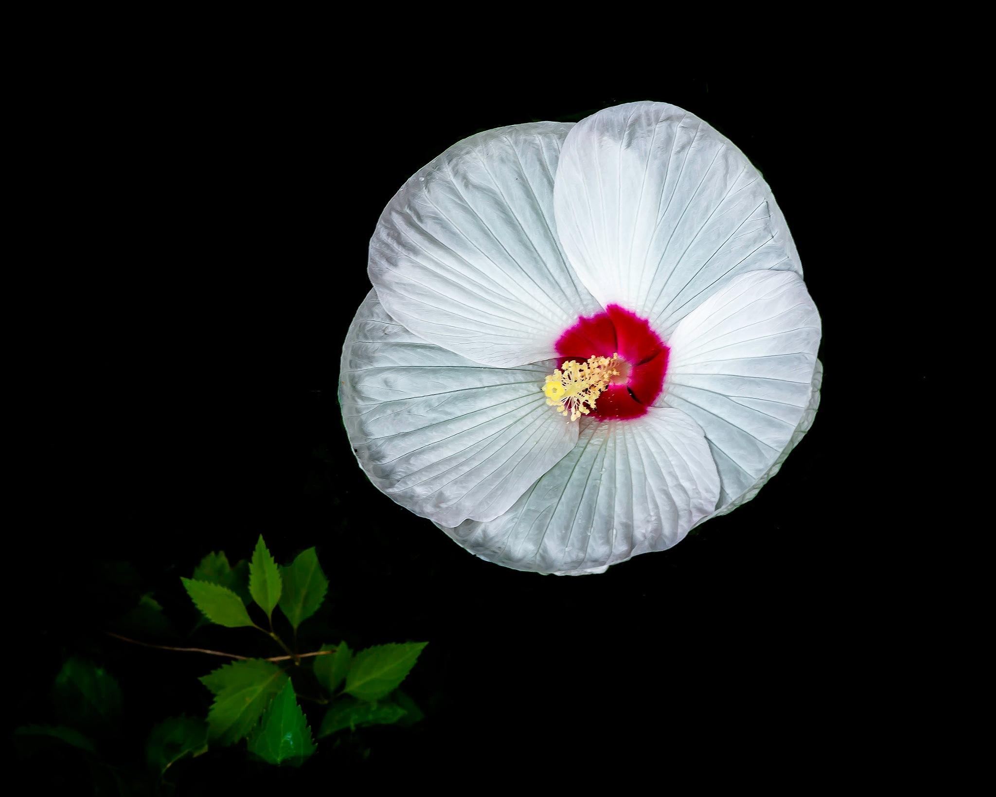 Moon Flower by Edward Brown