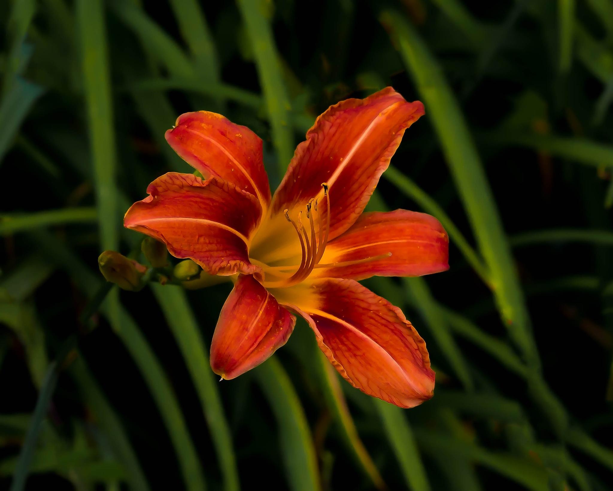 Roadside Tiger Lily by Edward Brown