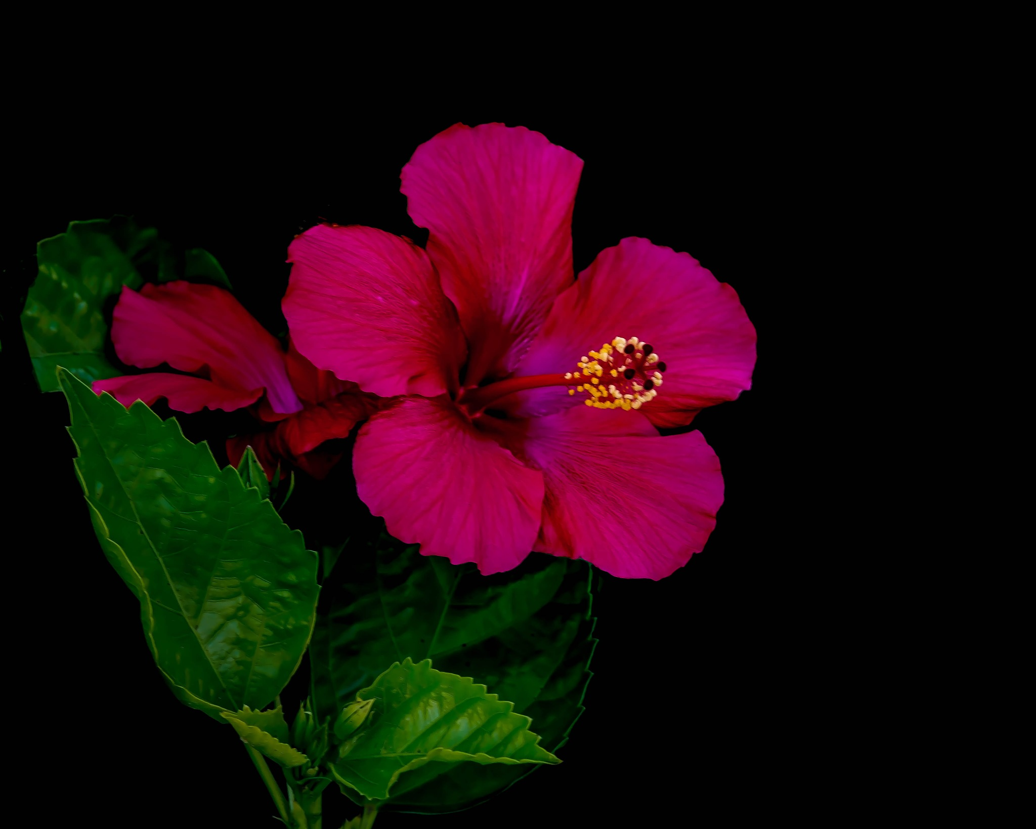 Hibiscus by Edward Brown