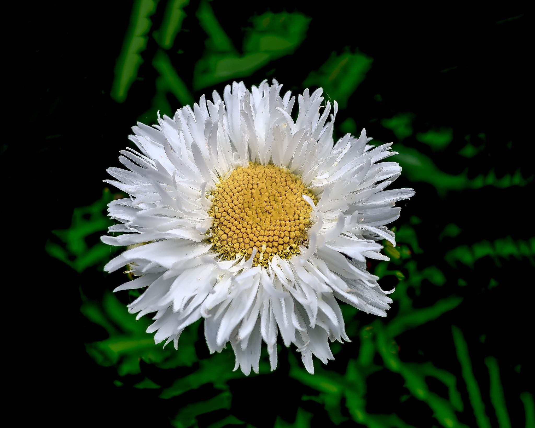 Shreaded Daisy by Edward Brown