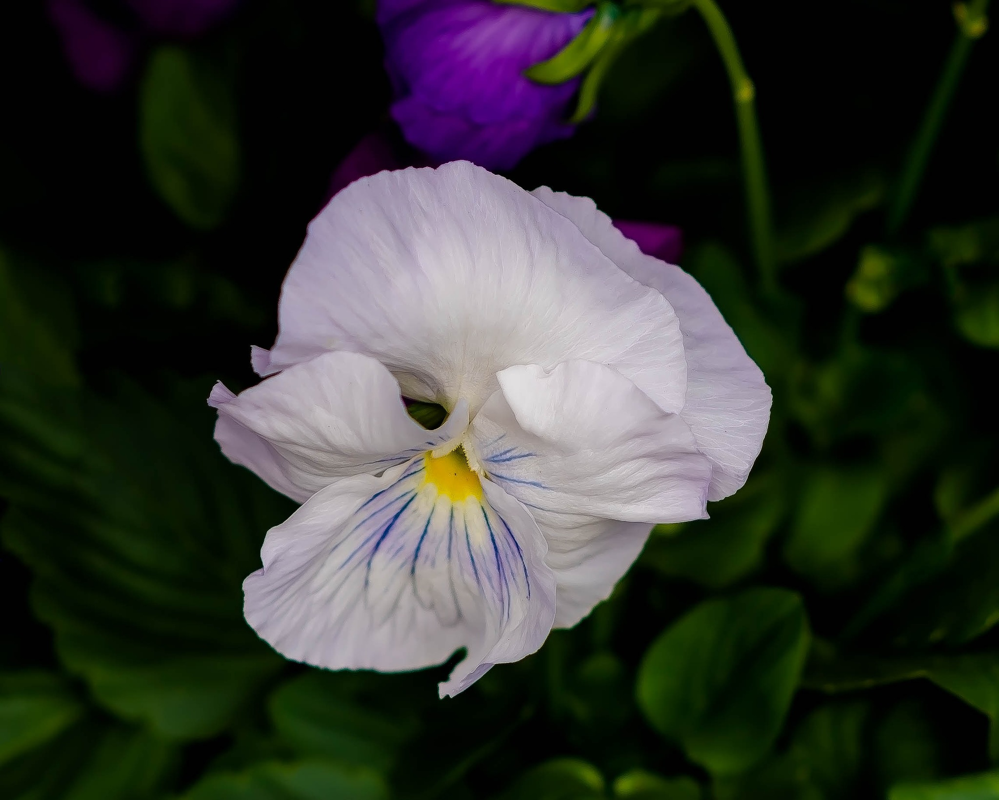 White Pansy, Fair Damsel by Edward Brown