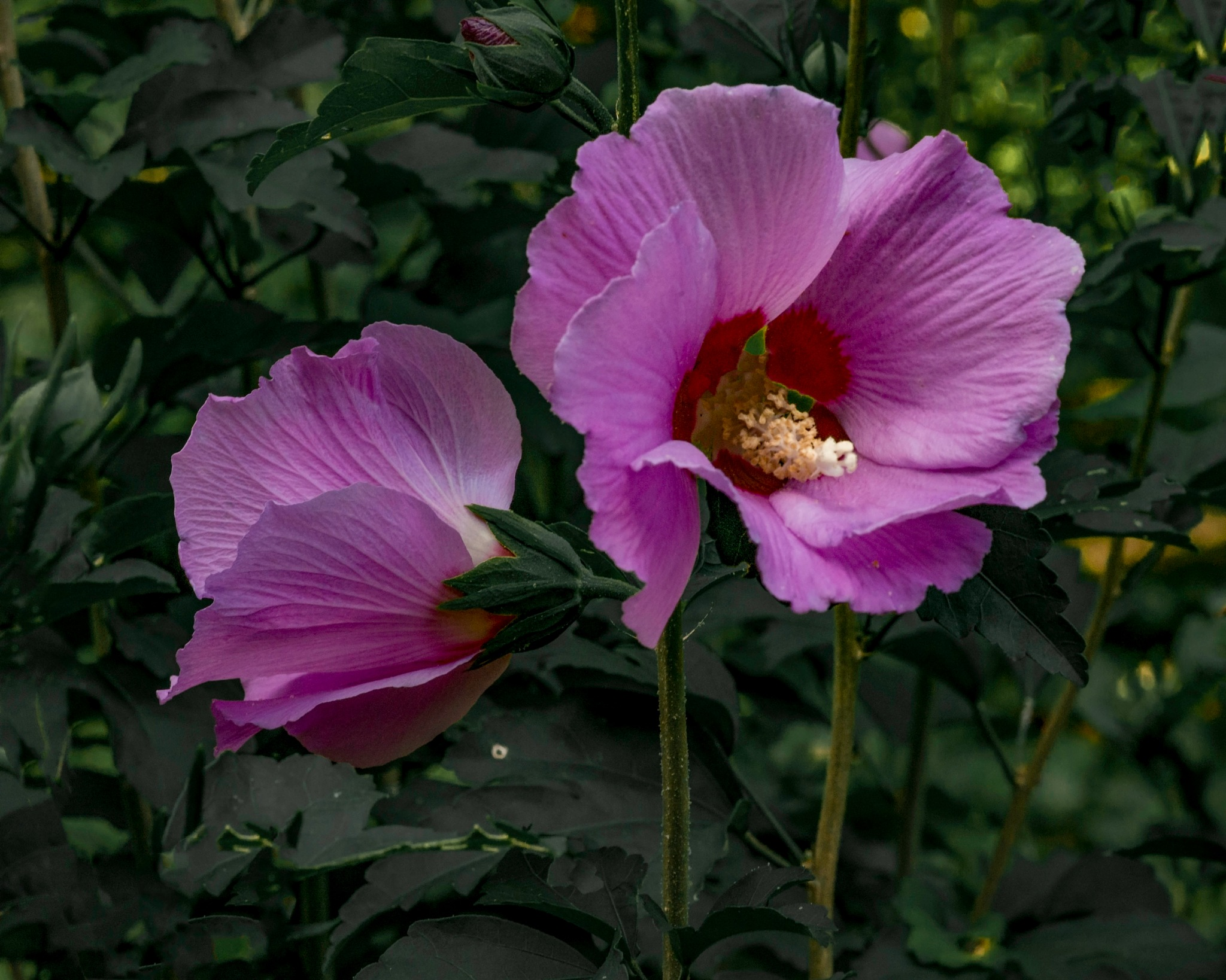 Hibiscus Blossoms by Edward Brown