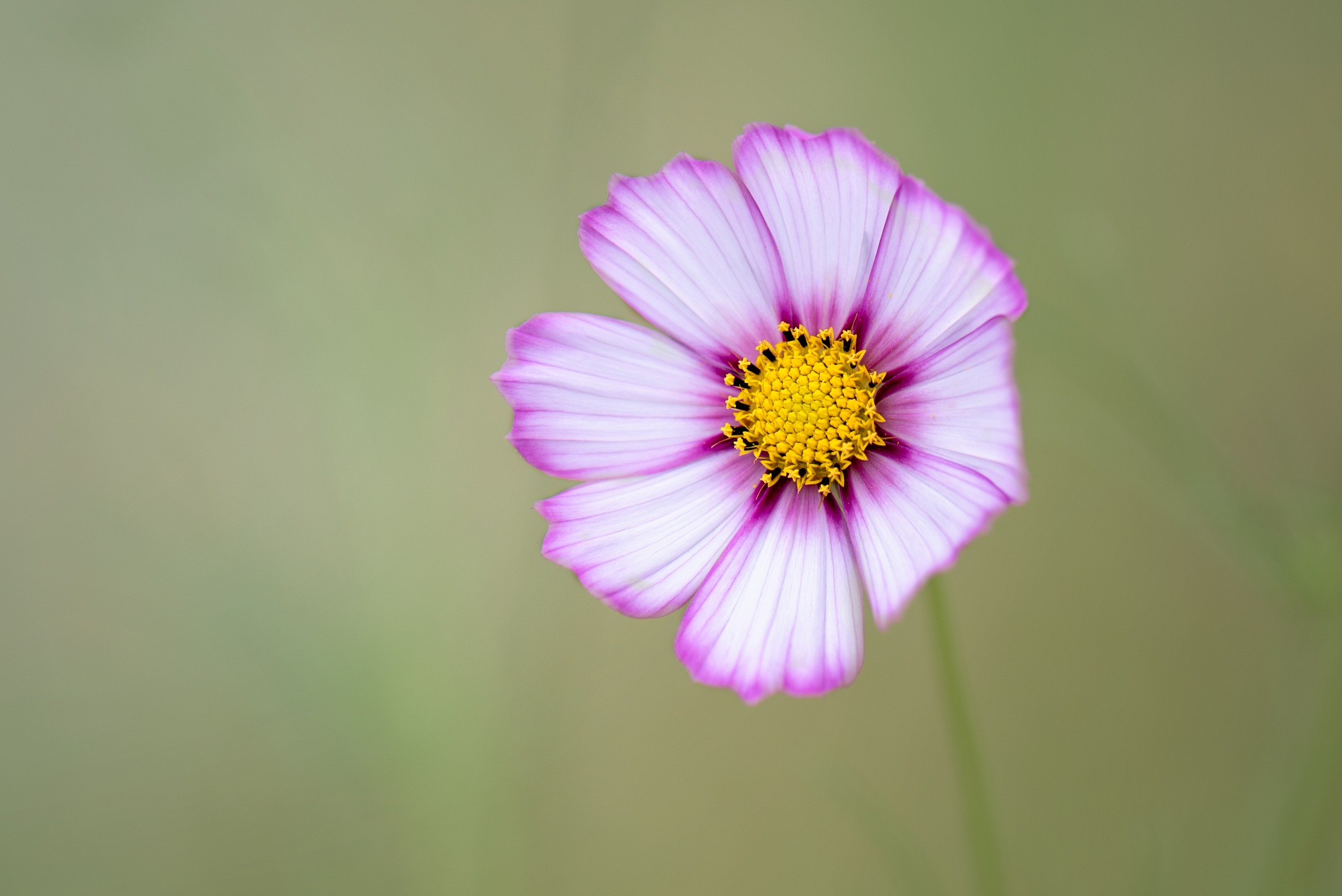 Colorful Cosmos by Tina Clark
