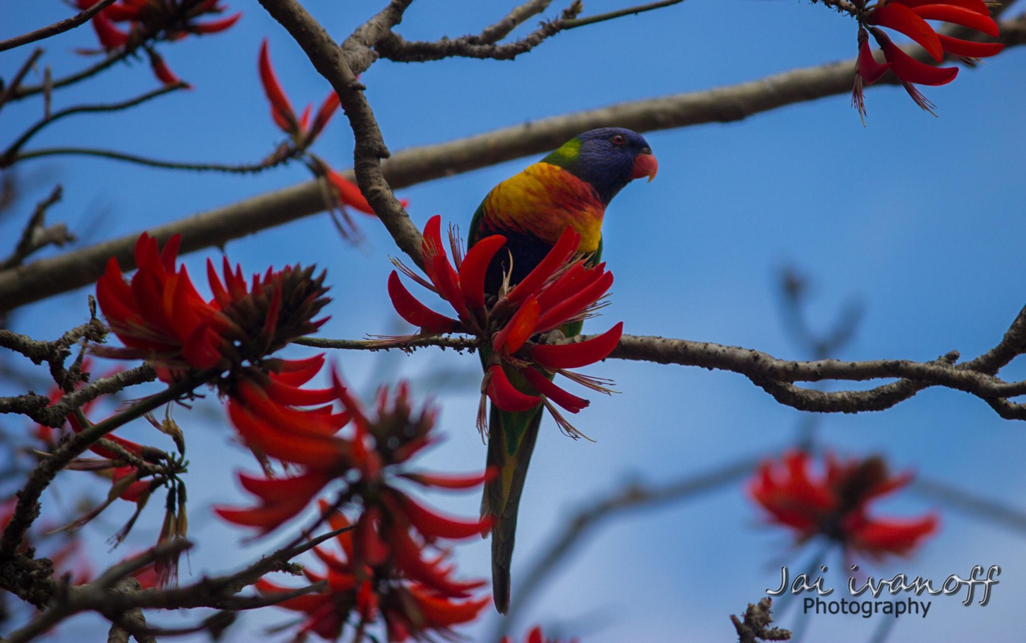 rainbow lorikeet by Jai Ivanoff