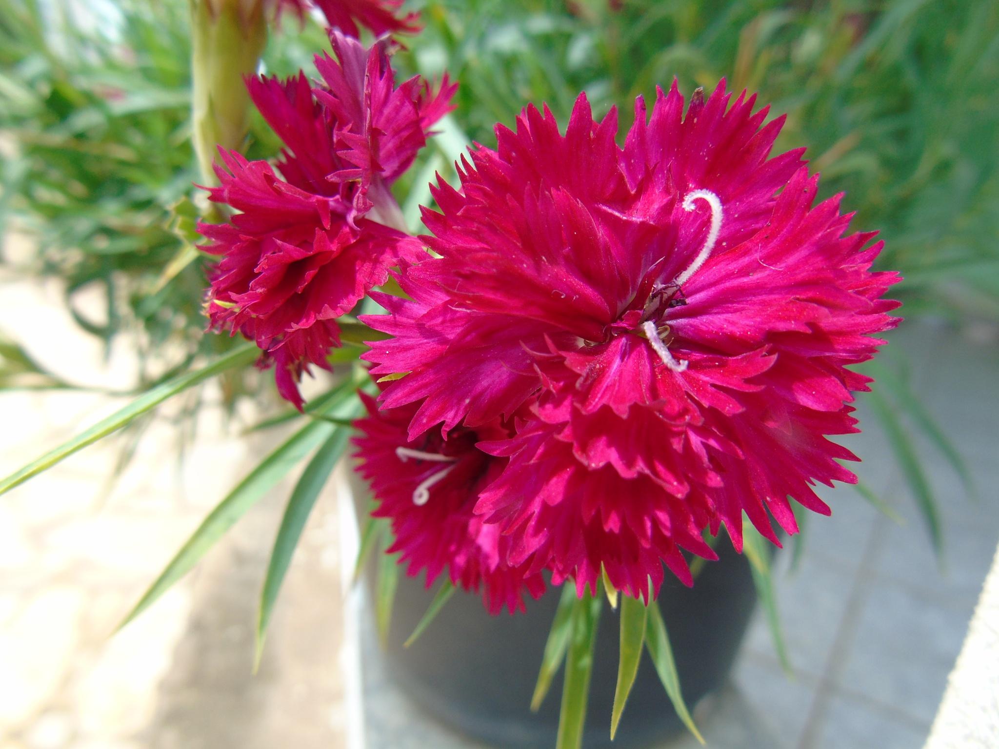 flower by Edilsom Silva