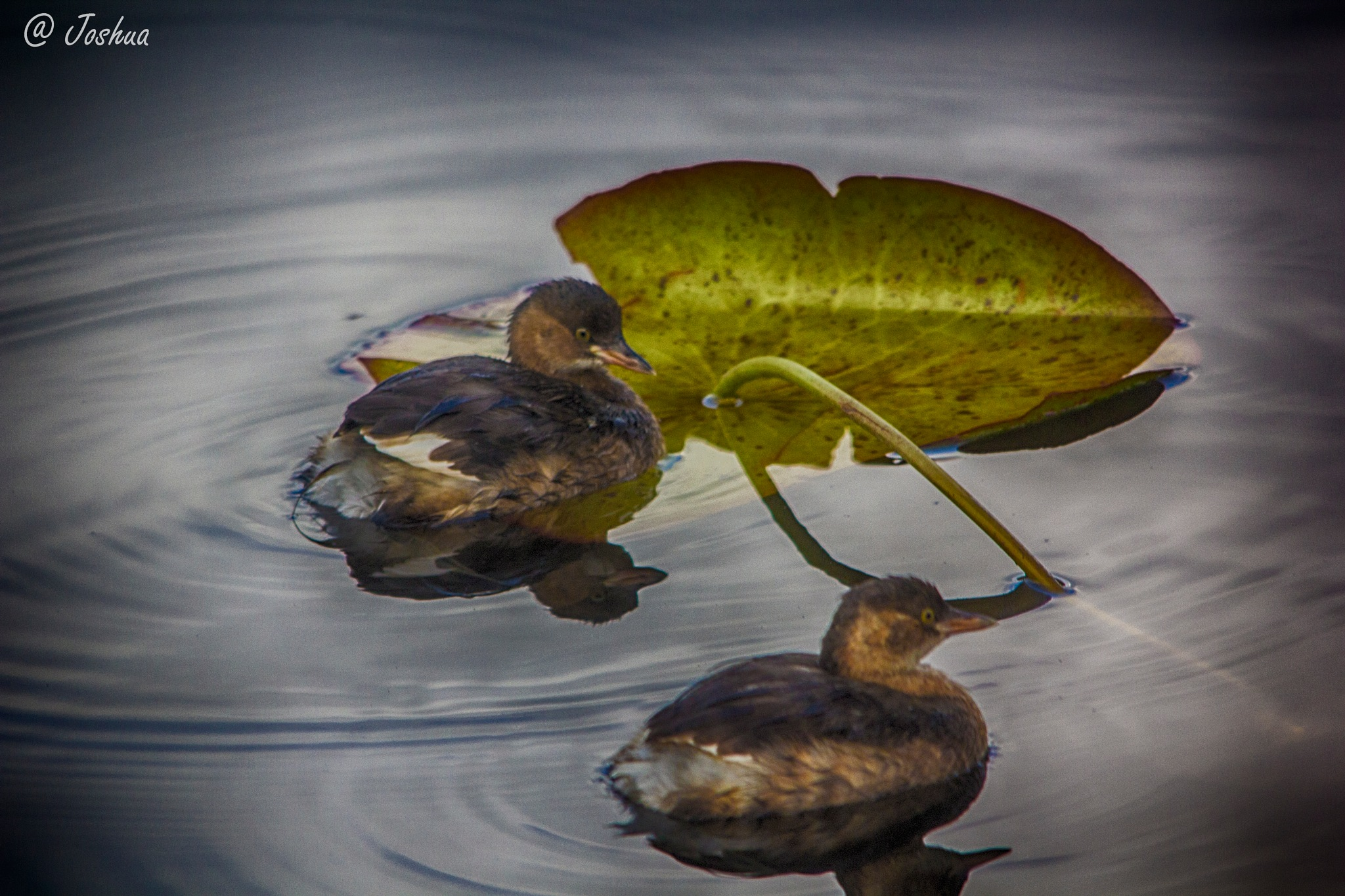 Pair of Little Grebe by 6thwordcoded