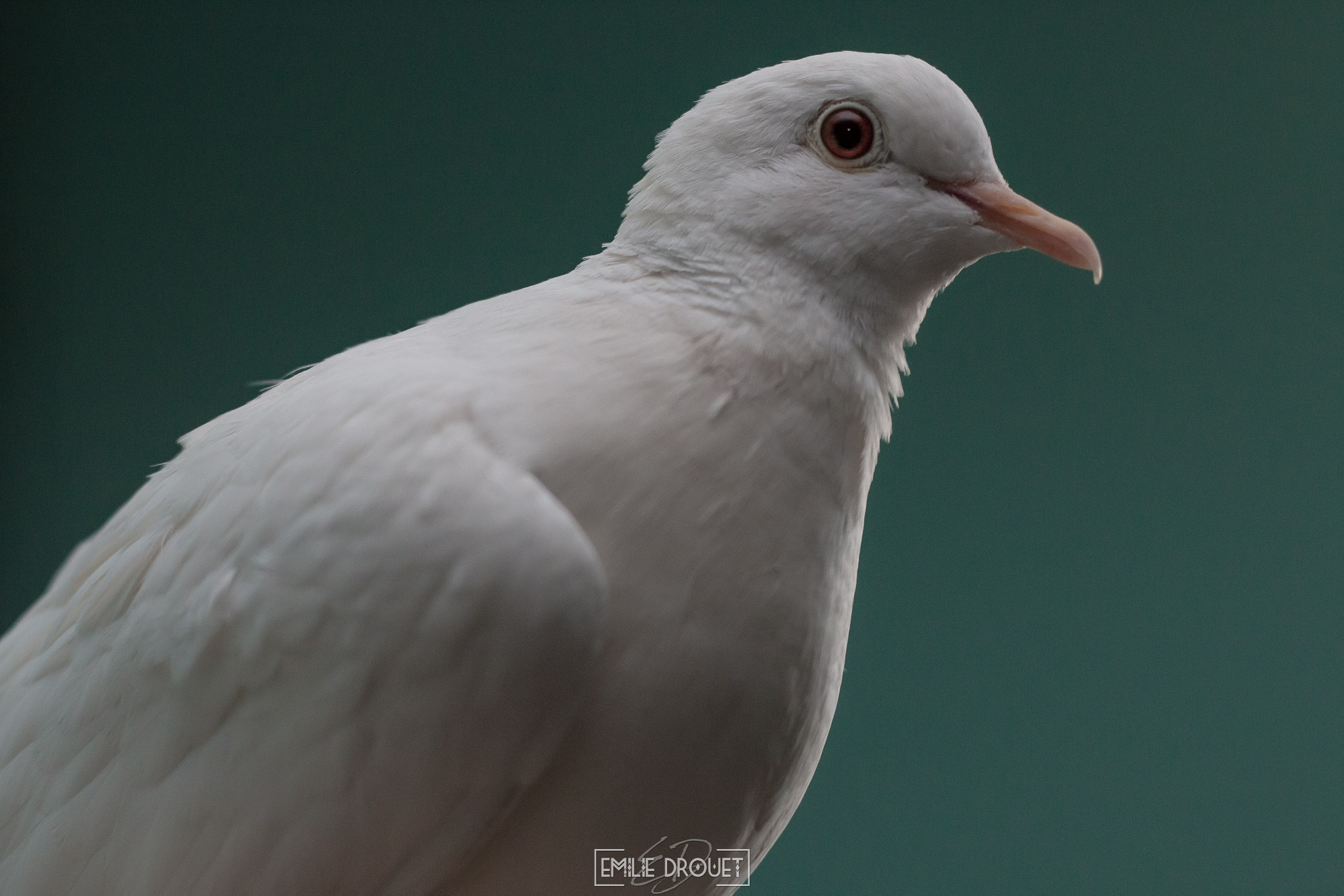 White dove by Emilie Drouet