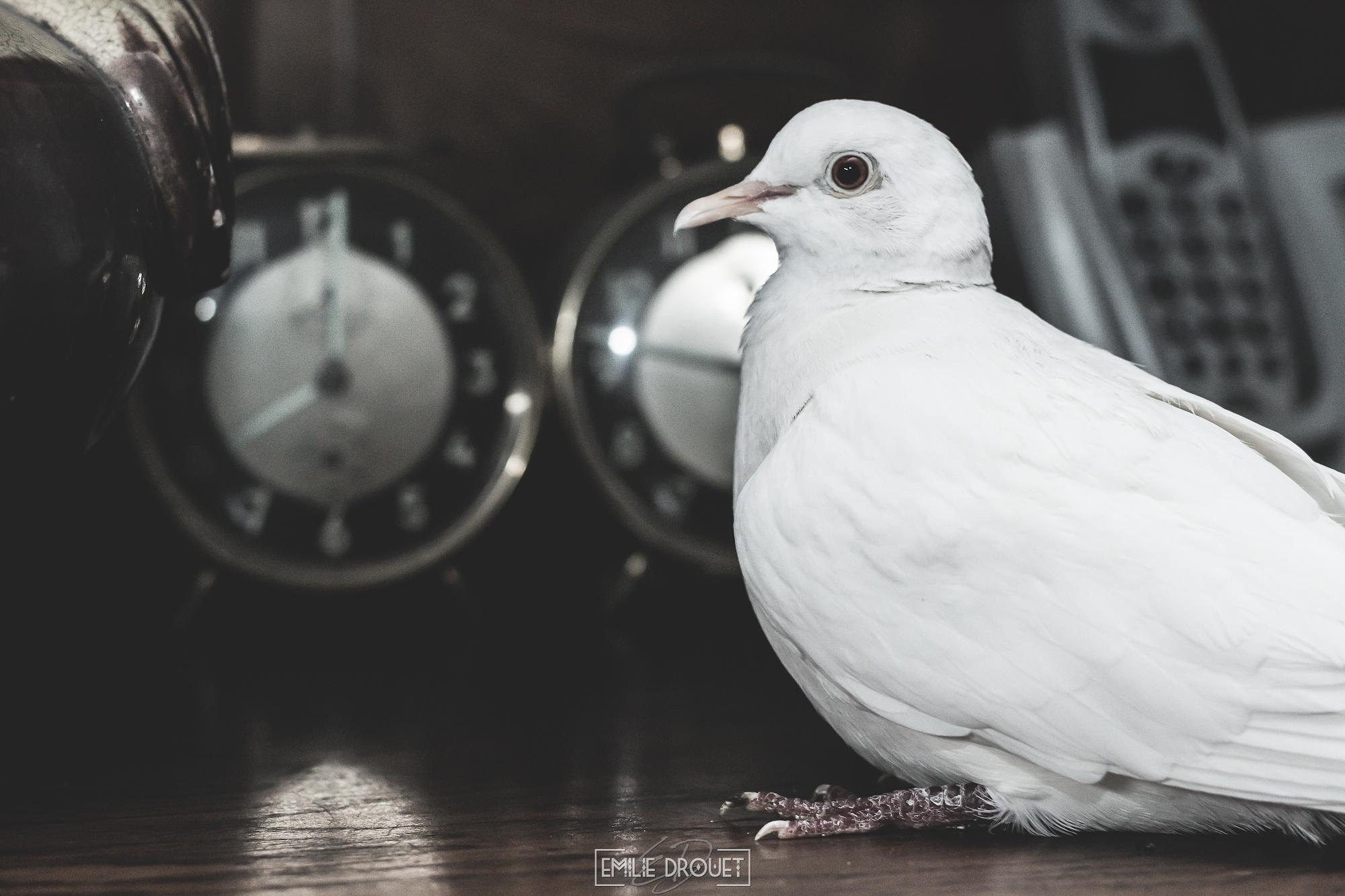 White dove 2 by Emilie Drouet