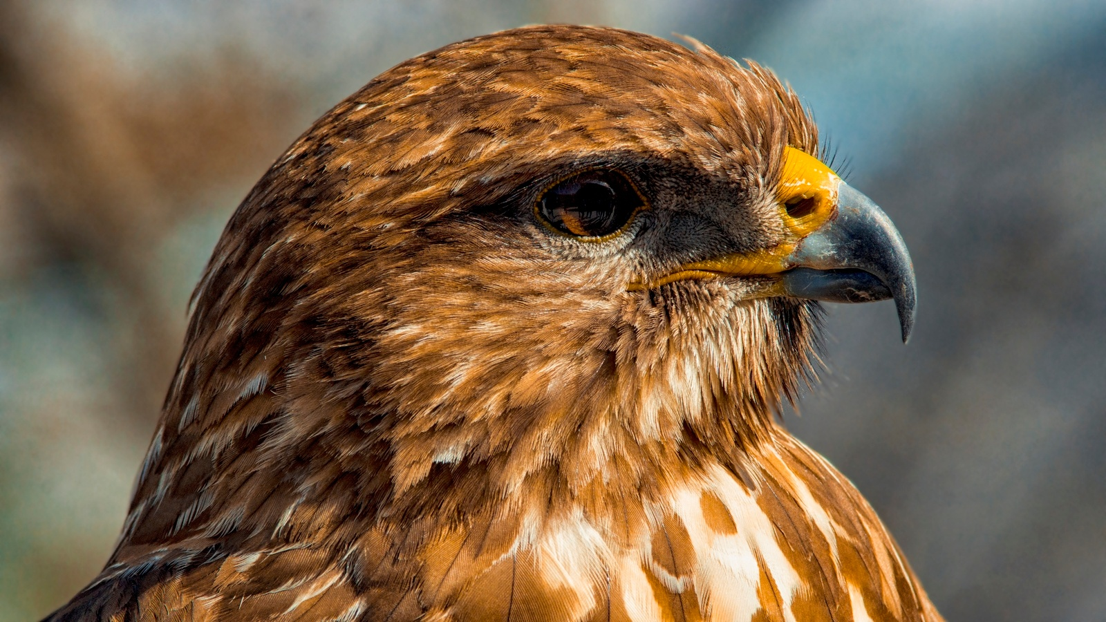 Buzzard portrait by Tamas Filep