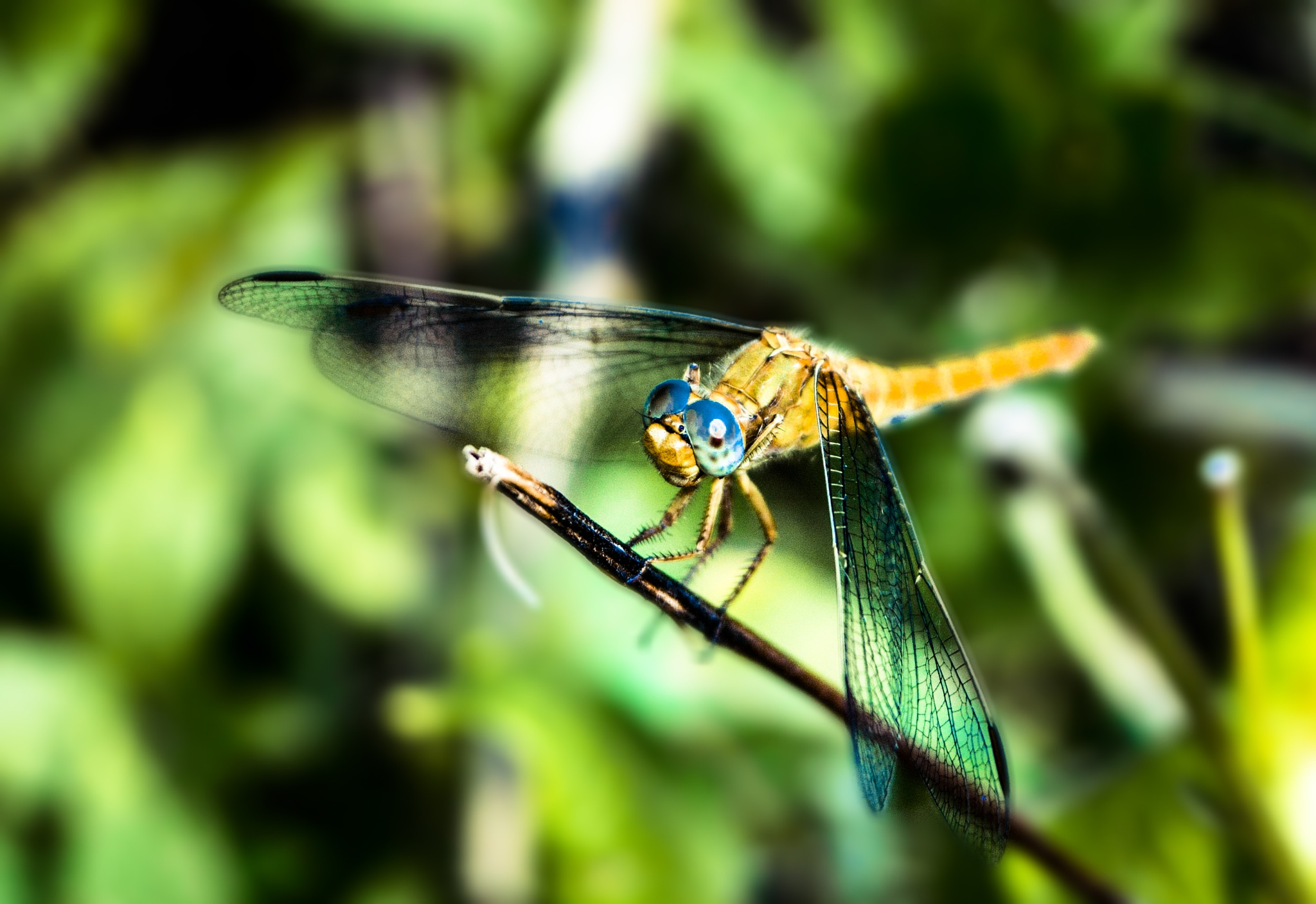 Dragonfly by Tamas Filep