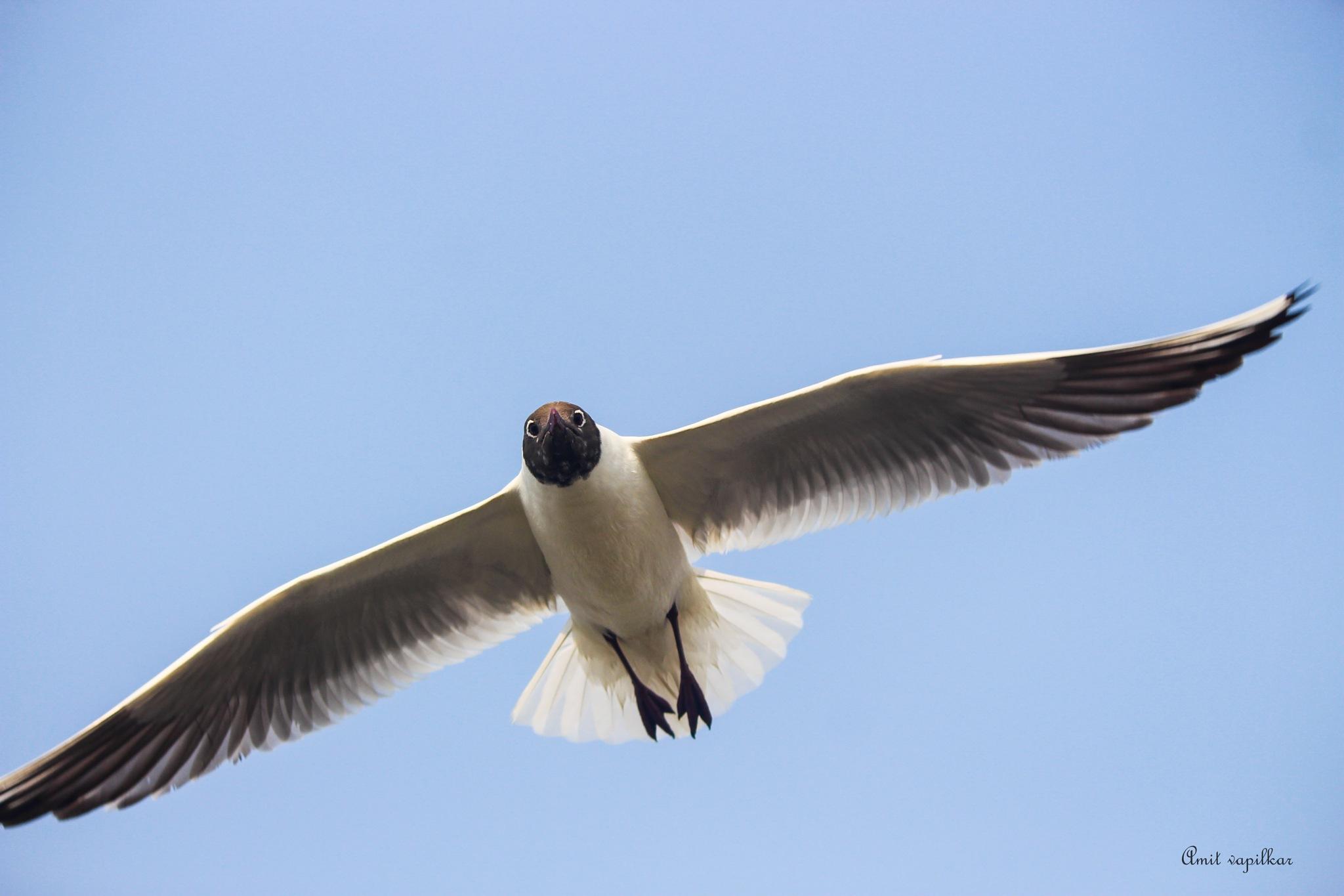 Seagull Flight by Amit vapilkar