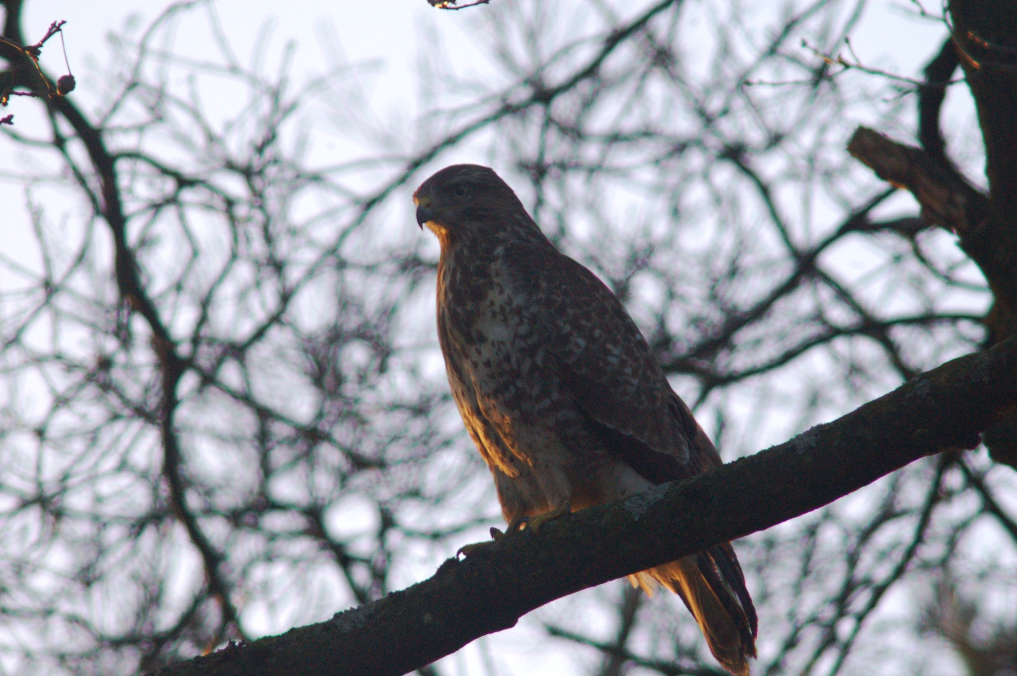 falcon on the look out  by vanetty