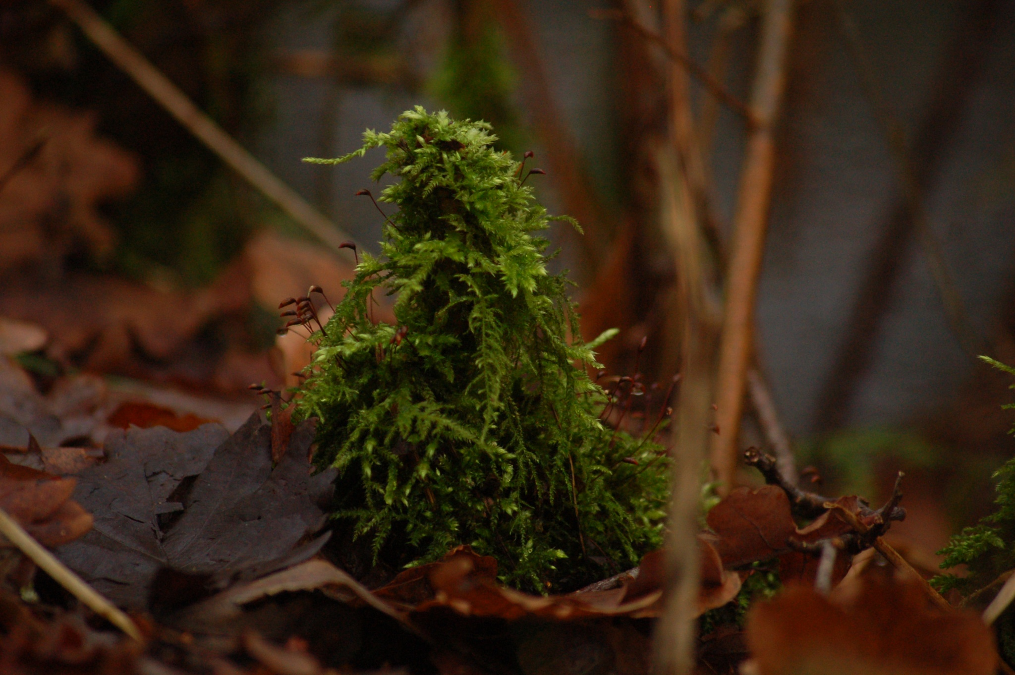 Mossy moss by vanetty