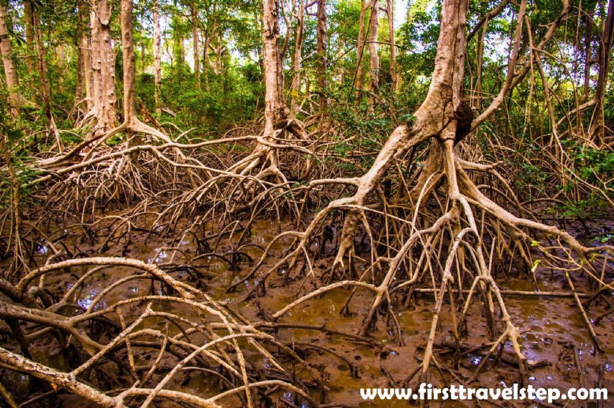 Mangrove tree by Zdenko Somorovsky