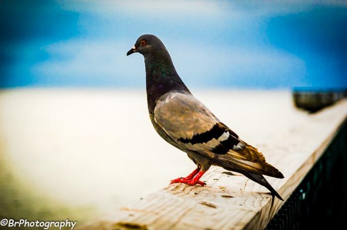 Pigeon  by Robert Brastrom