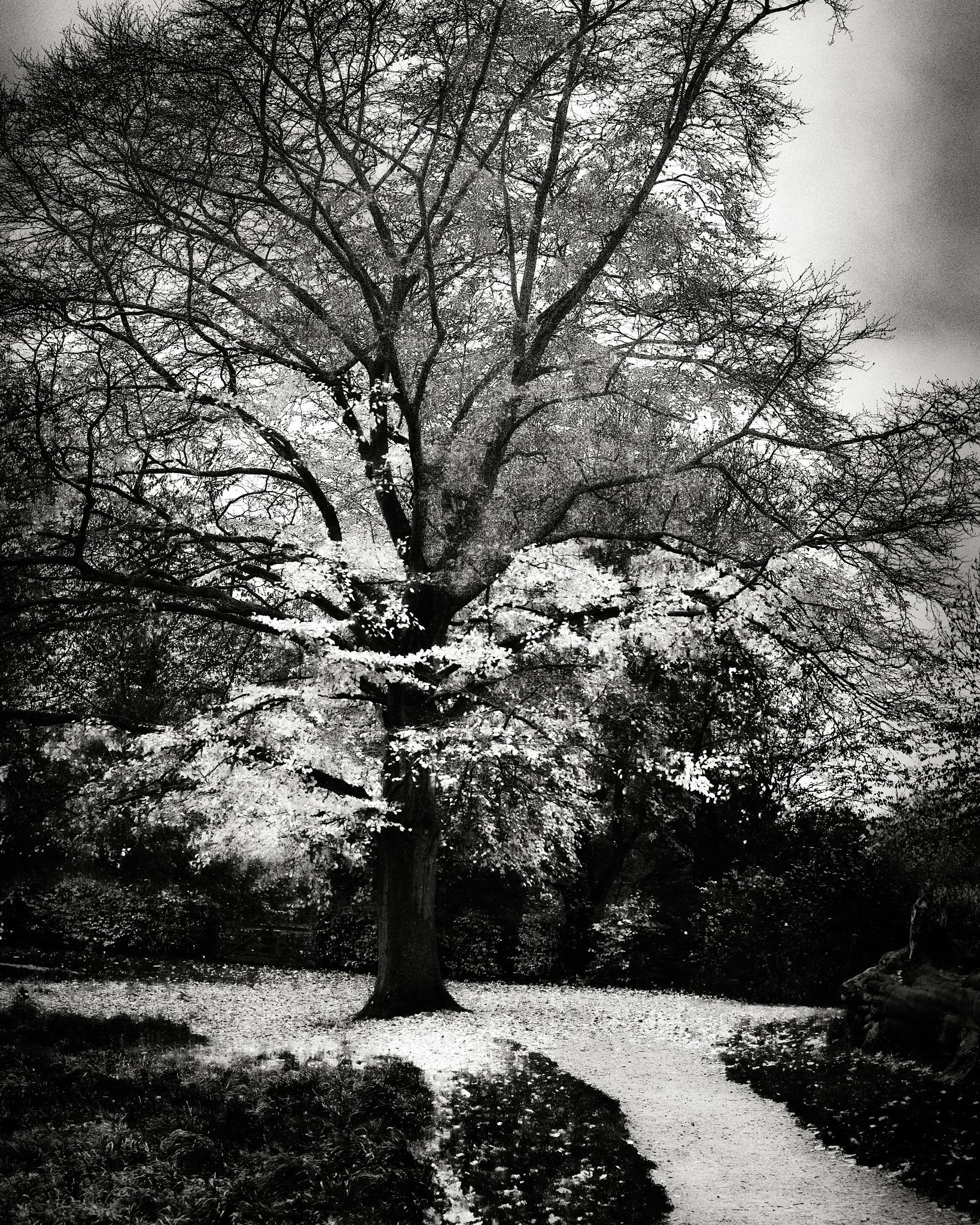 White Tree I BW by Fabio Rodrigues