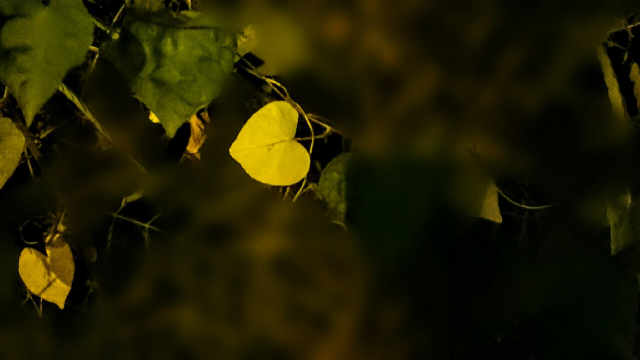 Heart shaped leaf  by falsparsh