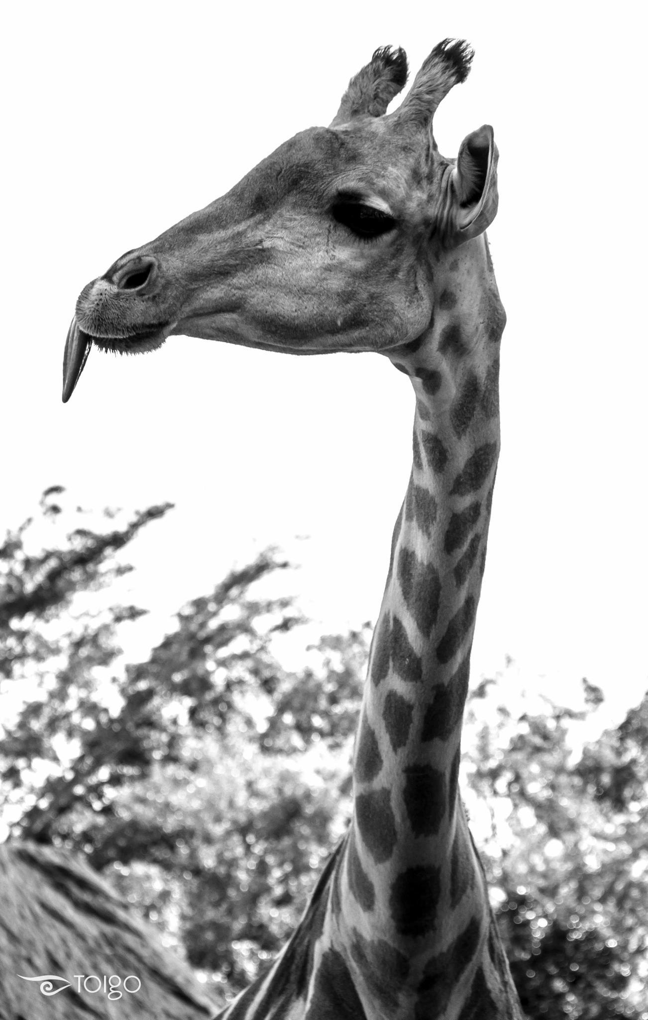 Giraffe by carlostoigo