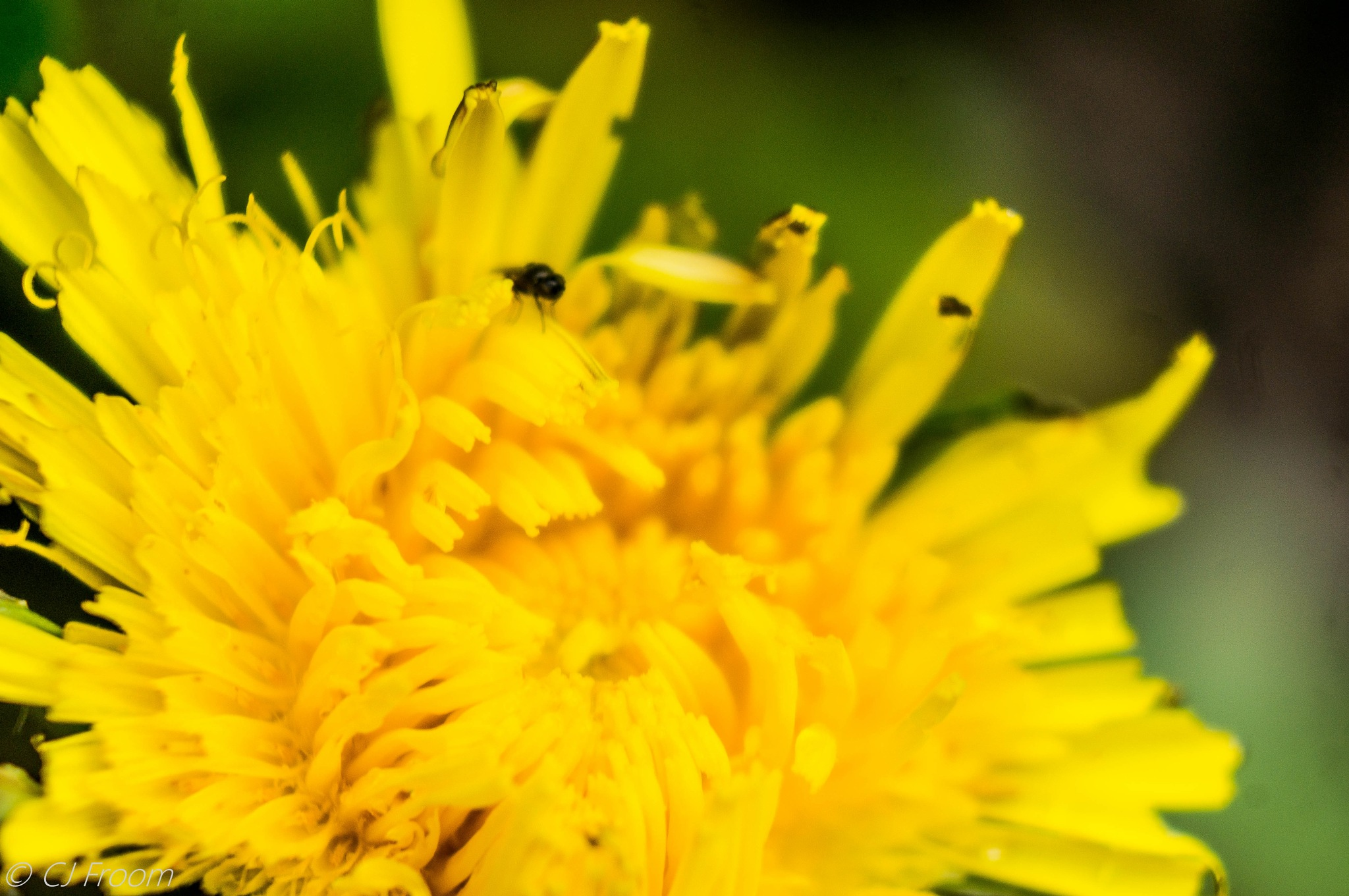 Dandelion with a visitor by Cj Froom
