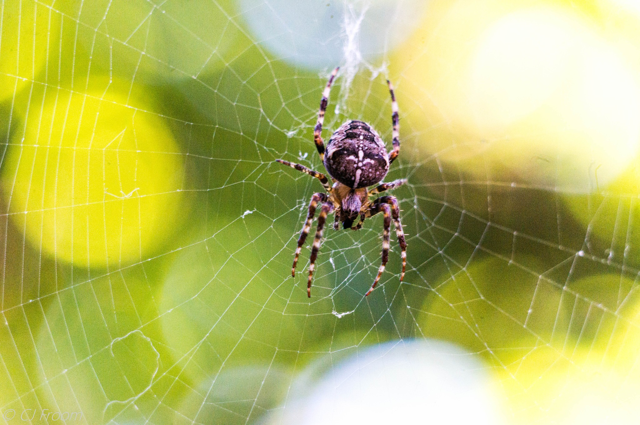Isty Bitsy Spider 5 by Cj Froom